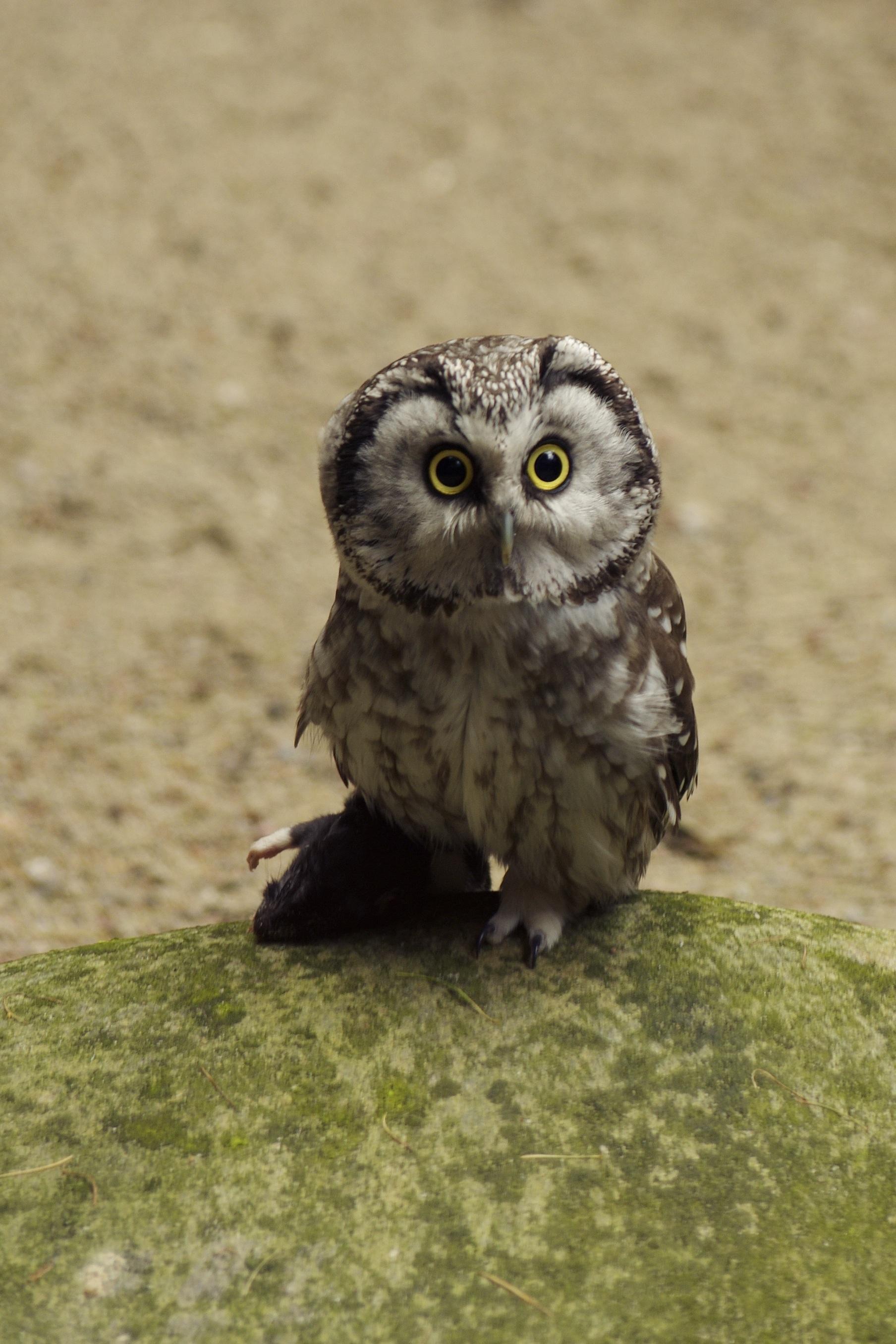Save Big Bird >> Eurasian Pygmy Owl - Glaucidium passerinum image - Free stock photo - Public Domain photo - CC0 ...
