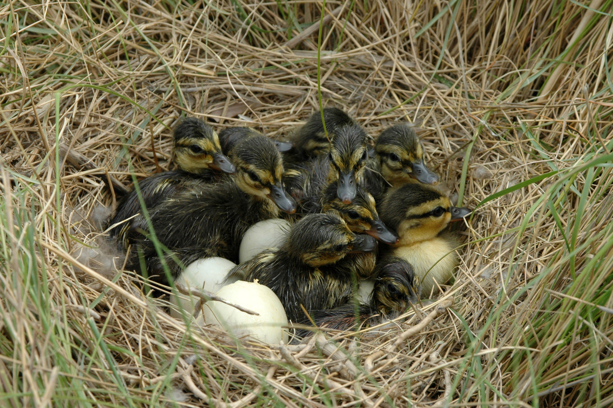 baby ducklings in a nest image - free stock photo