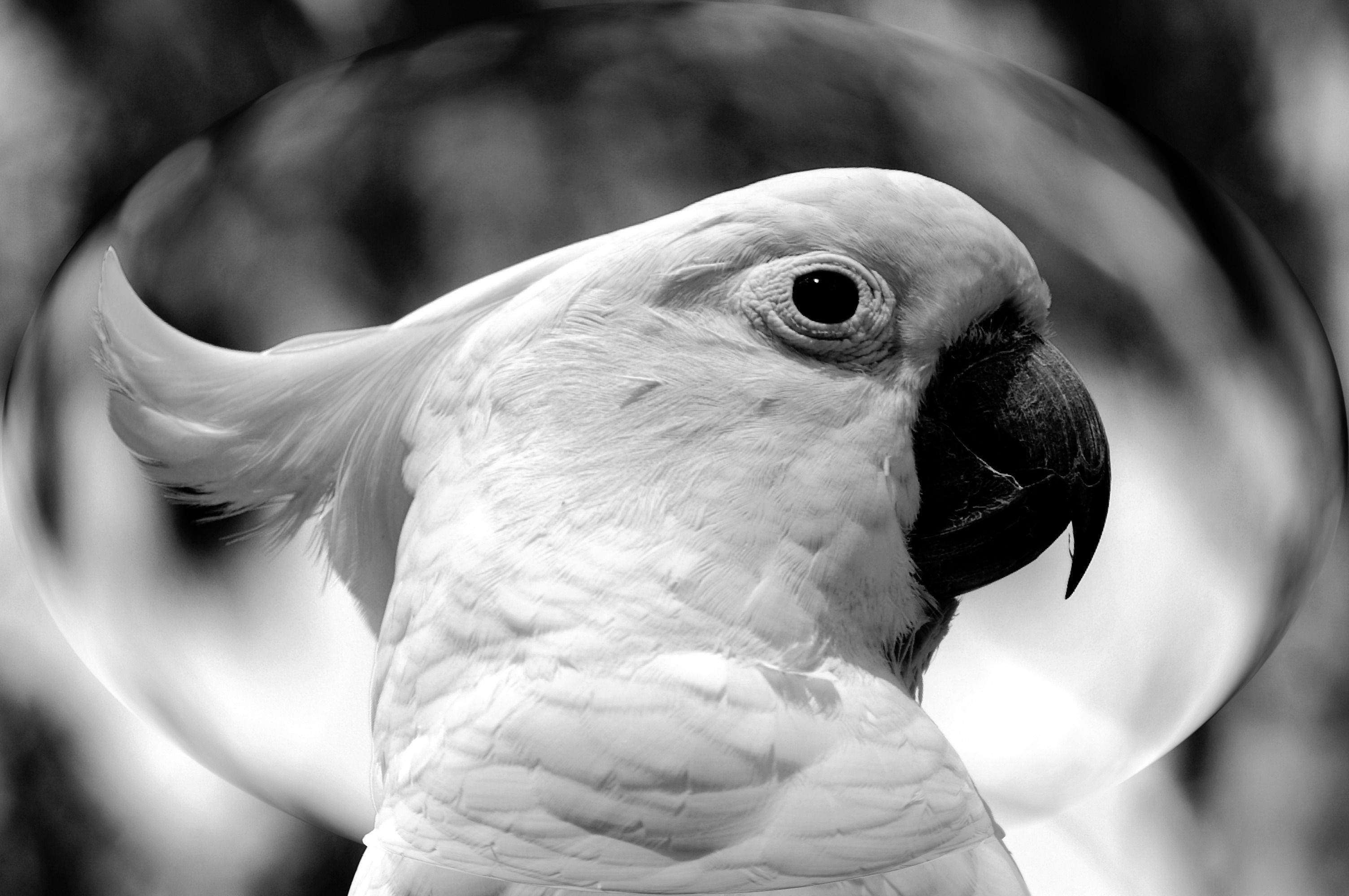 bird birds cockatoo cockatiel wildlife animals background animal parrot beak domain sulphur crested close wild 66kb monochrome fauna vertebrate manipulation