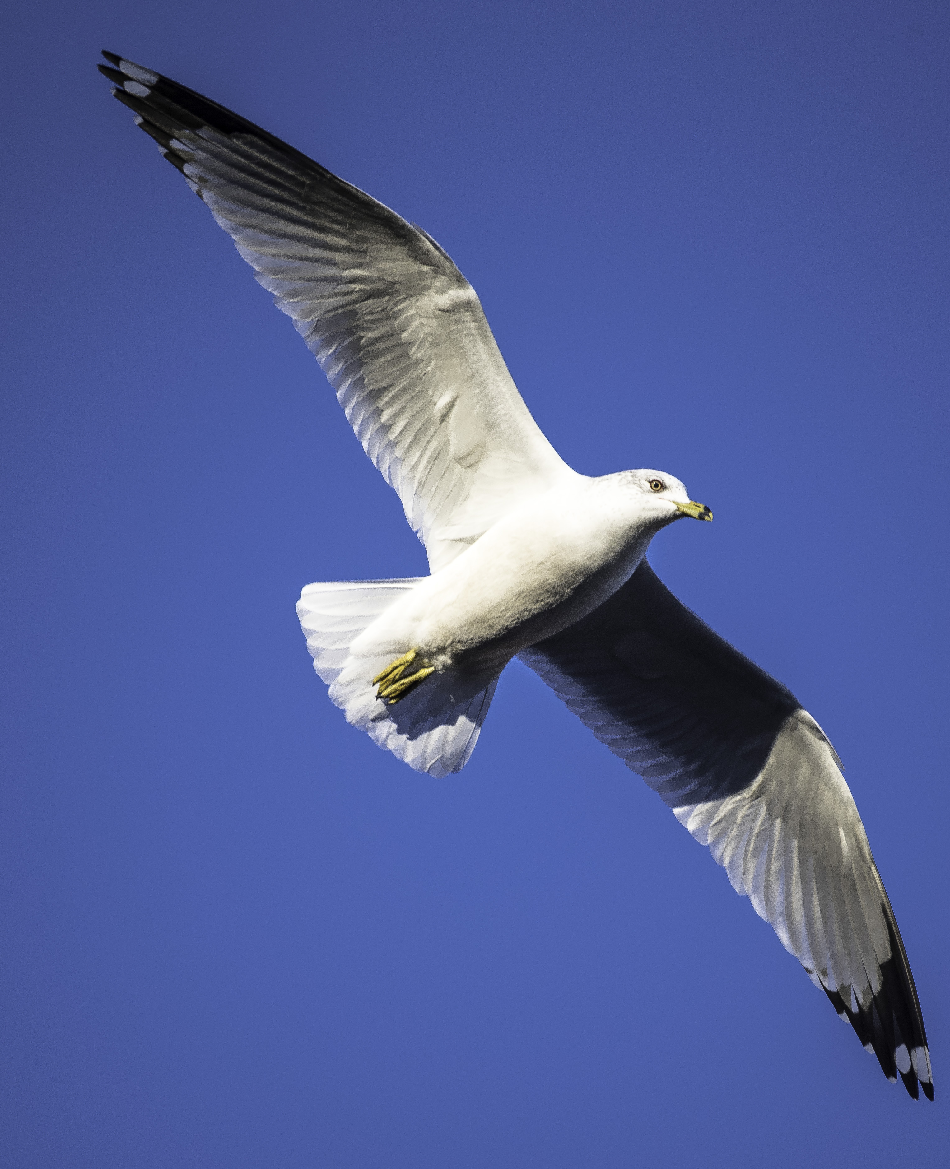 close up seagull in flight full wingspan image free stock photo