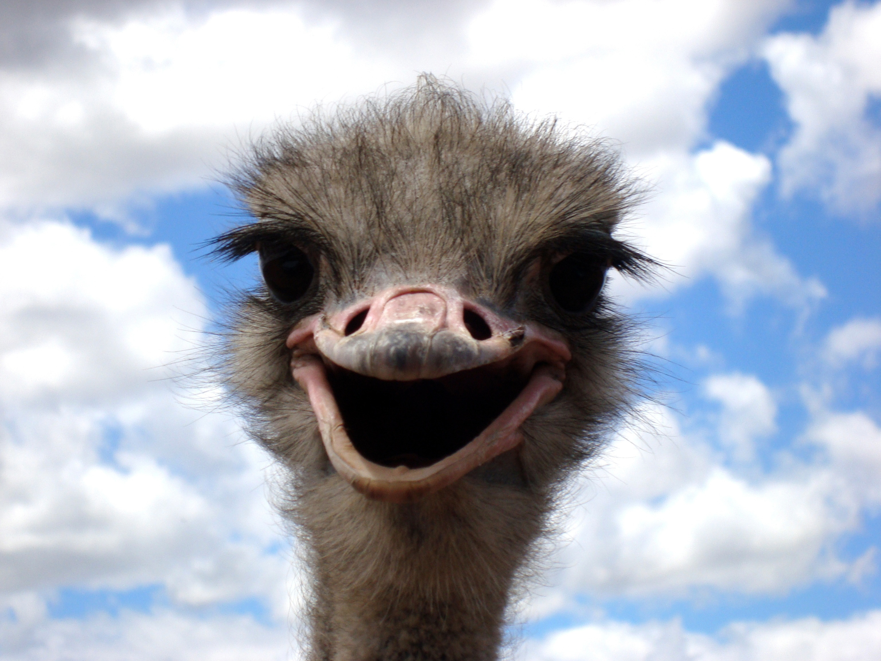 Funny Ostrich facial expression image - Free stock photo ...