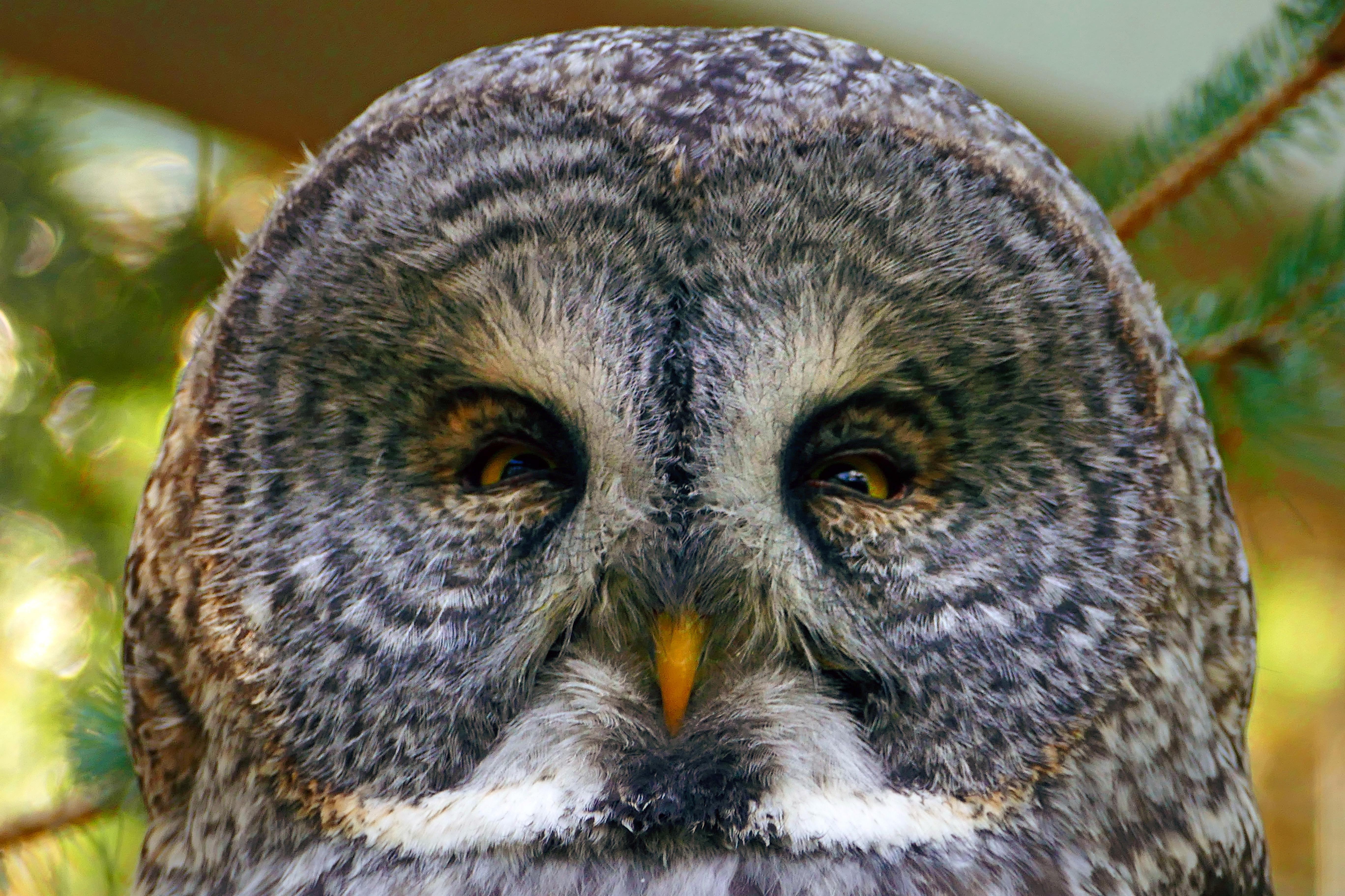 Great Grey Owl face image - Free stock photo - Public ...