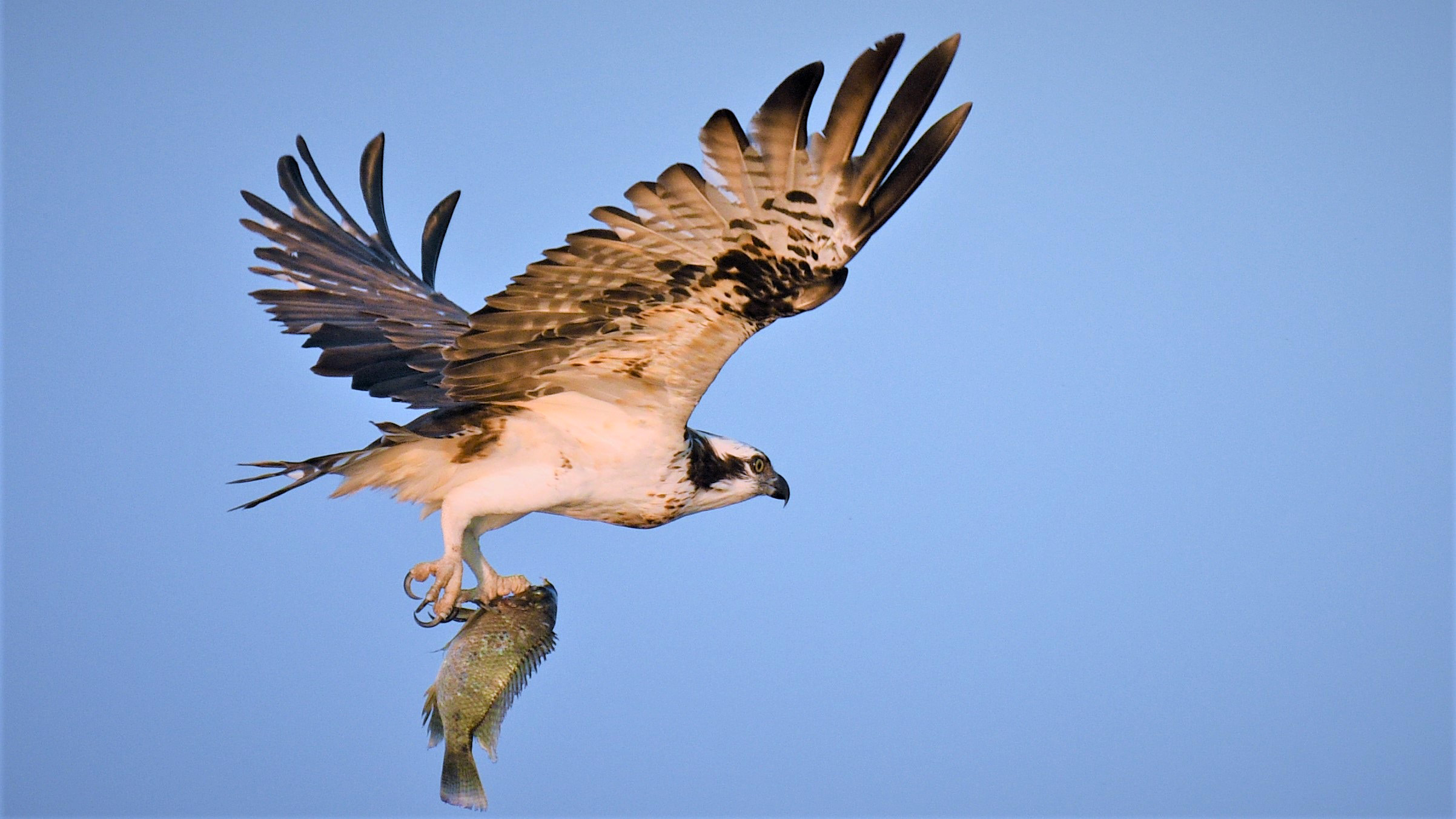 Image result for osprey with fish