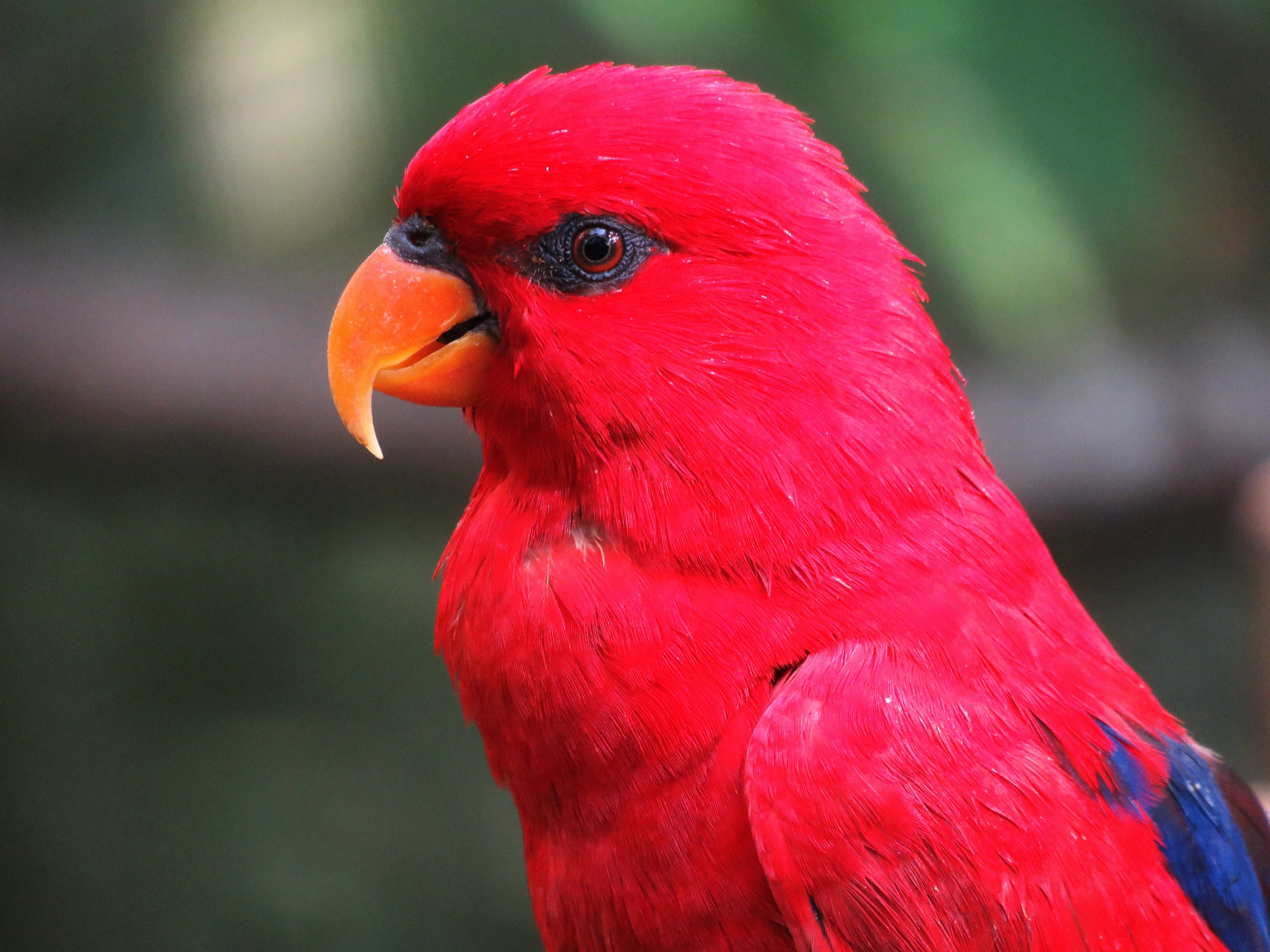 Red and Pink Parrot image - Free stock photo - Public ...