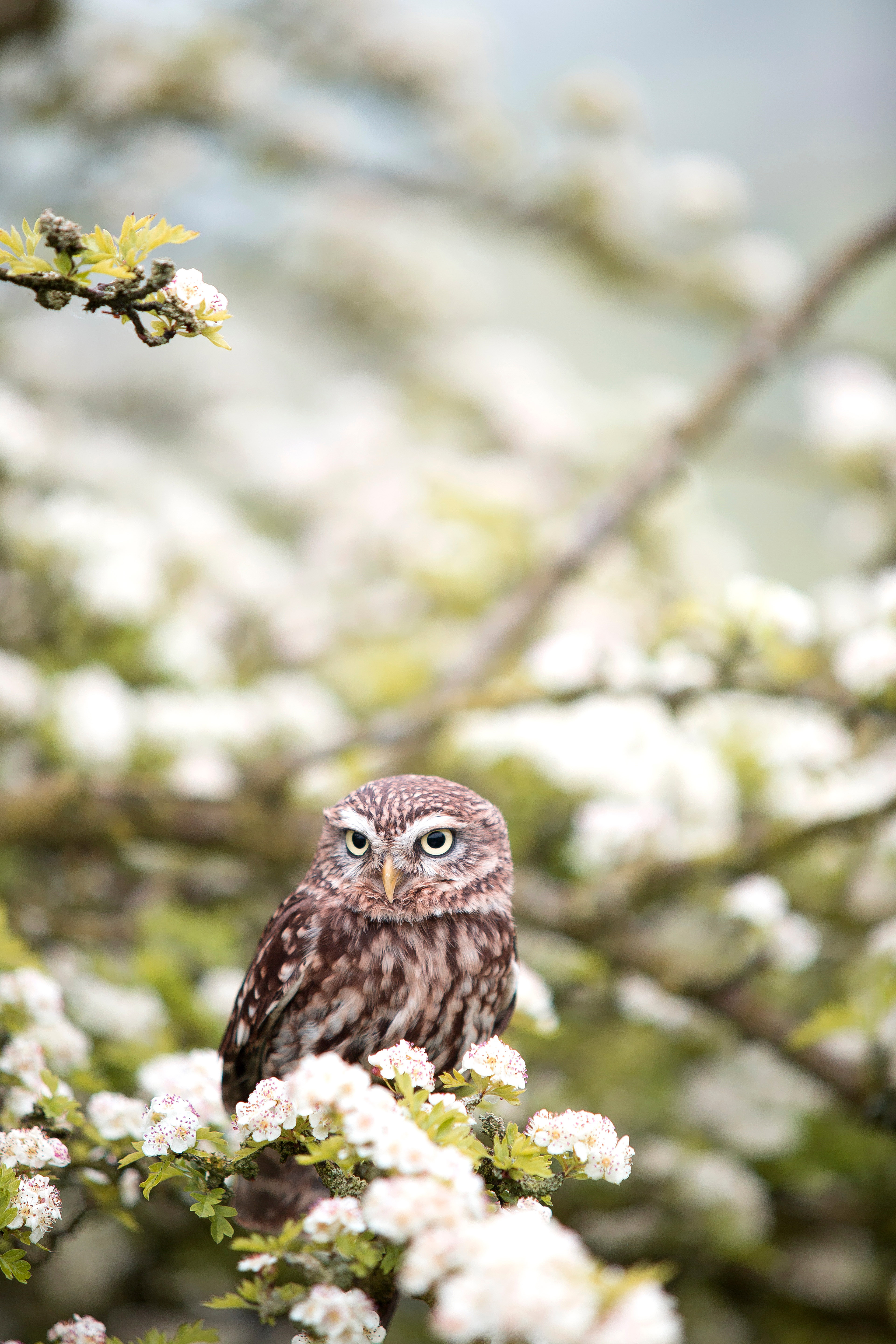 Small Owl In The White Flower Trees Image Free Stock Photo