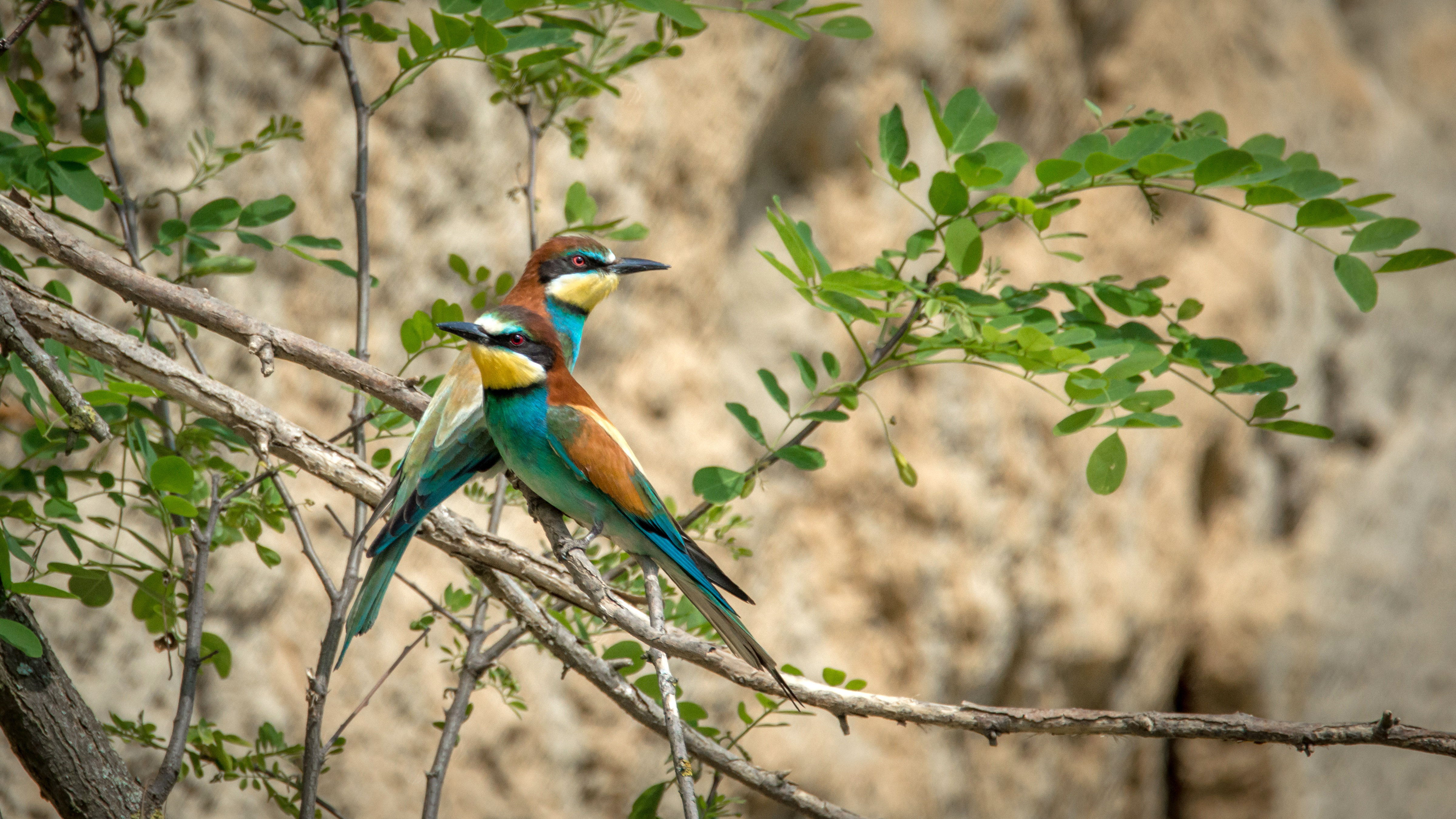 European Stock Charts: Two European Bee-Eaters standing on a branch - Merops apiaster ,Chart