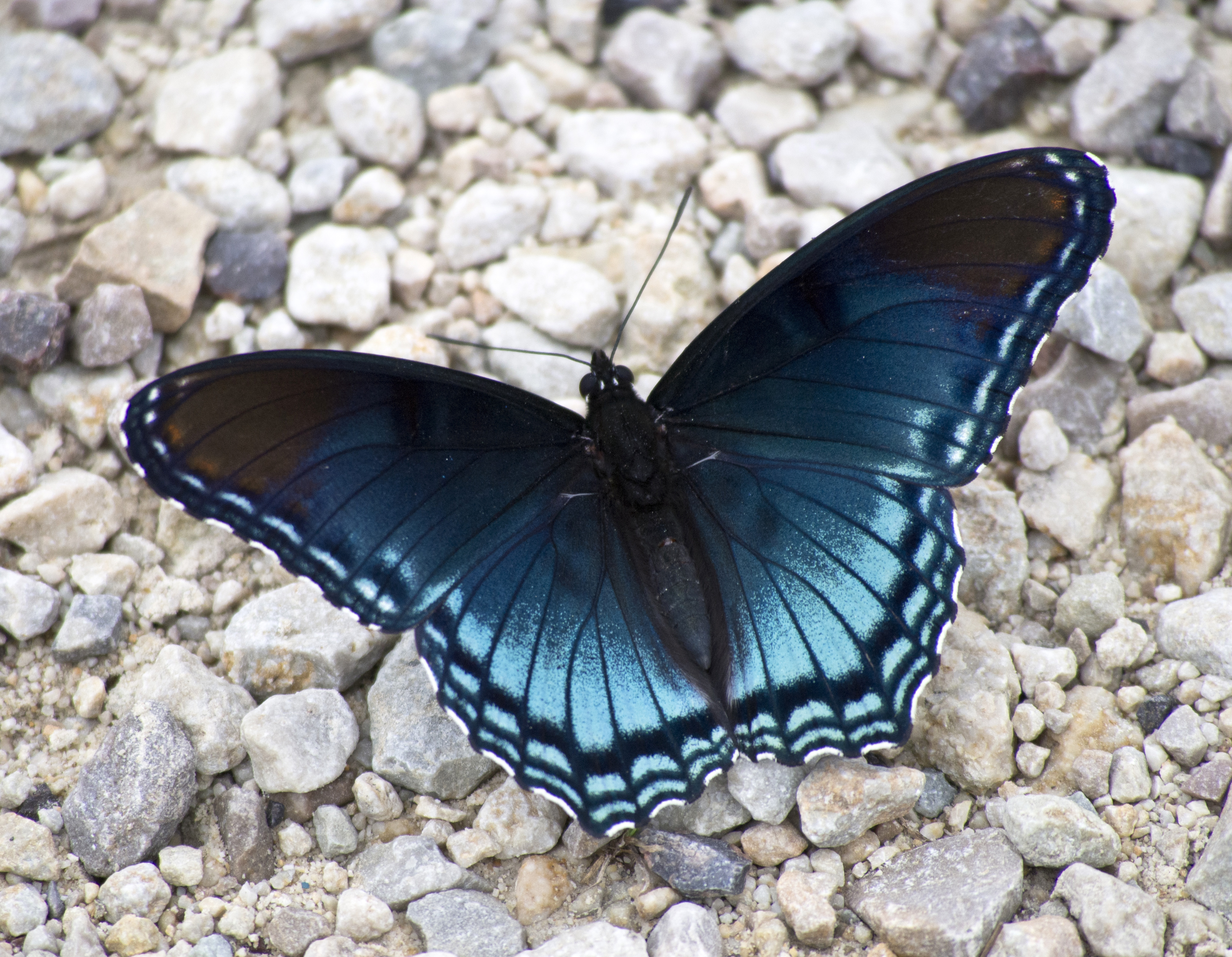 Blue Butterfly On The Ground Image Free Stock Photo Public