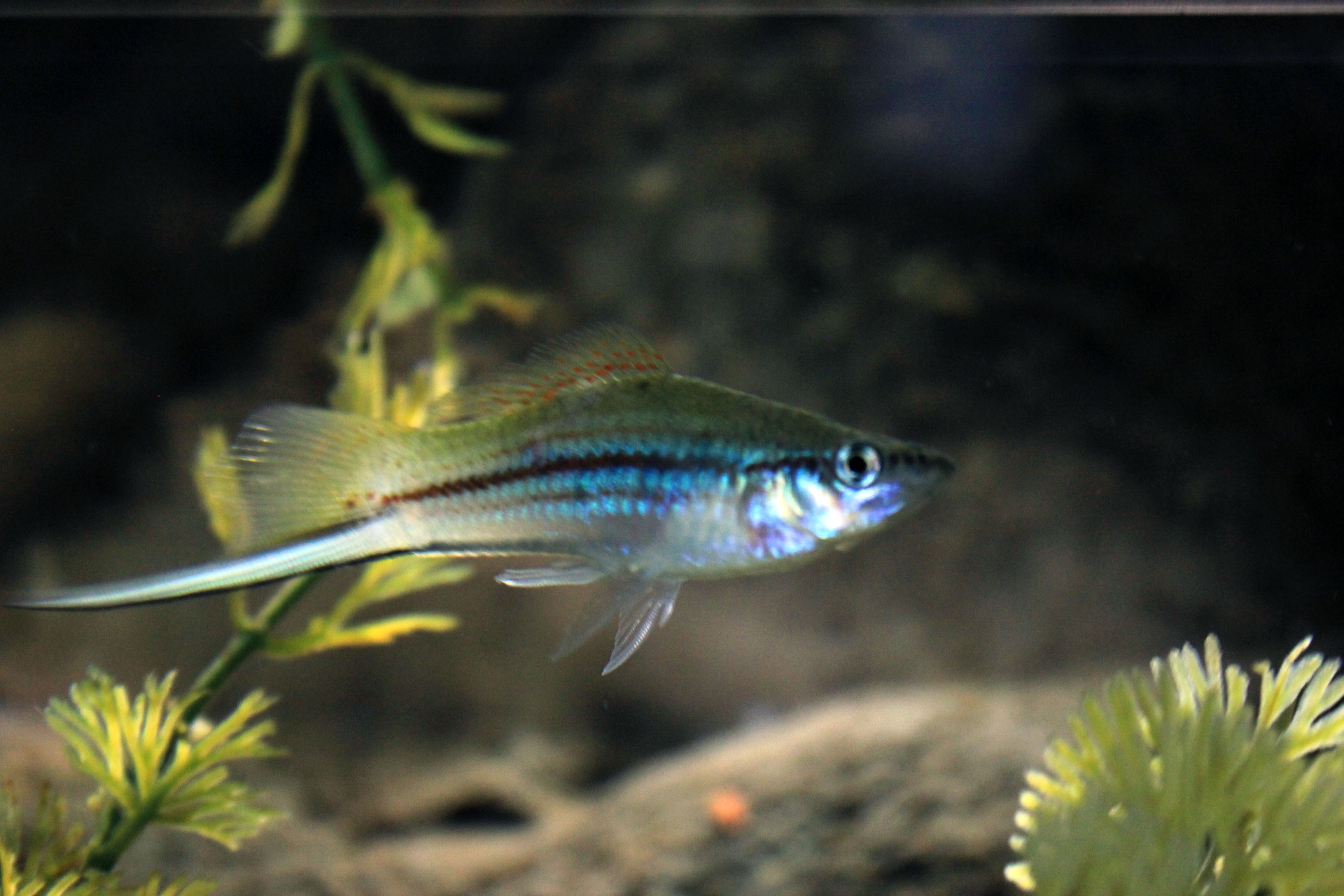 A freshwater fish with long tail image free stock photo for How long is fish good for