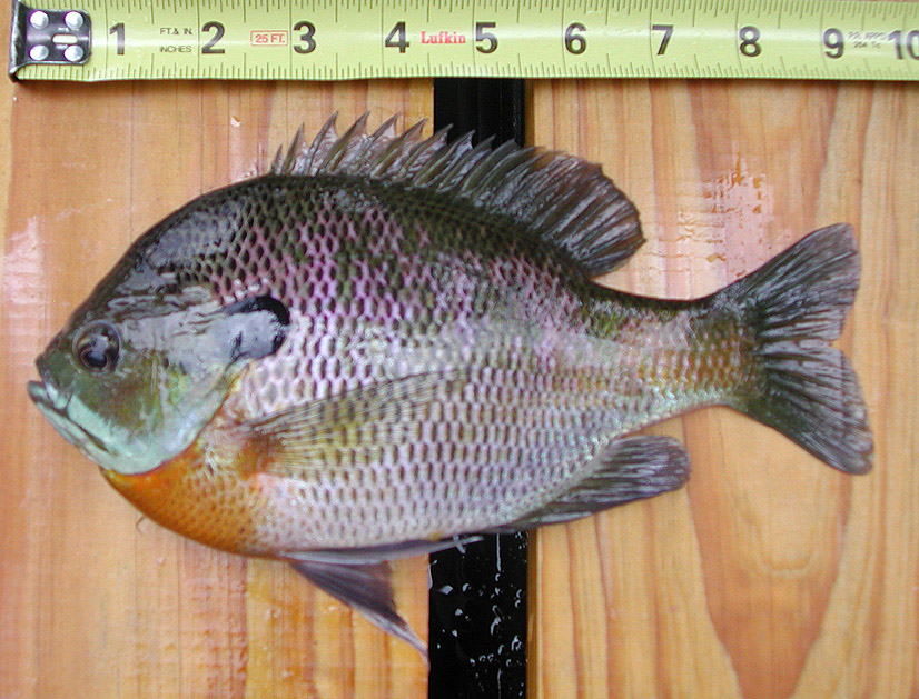 Bluegill Lepomis Macrochirus Image Free Stock Photo