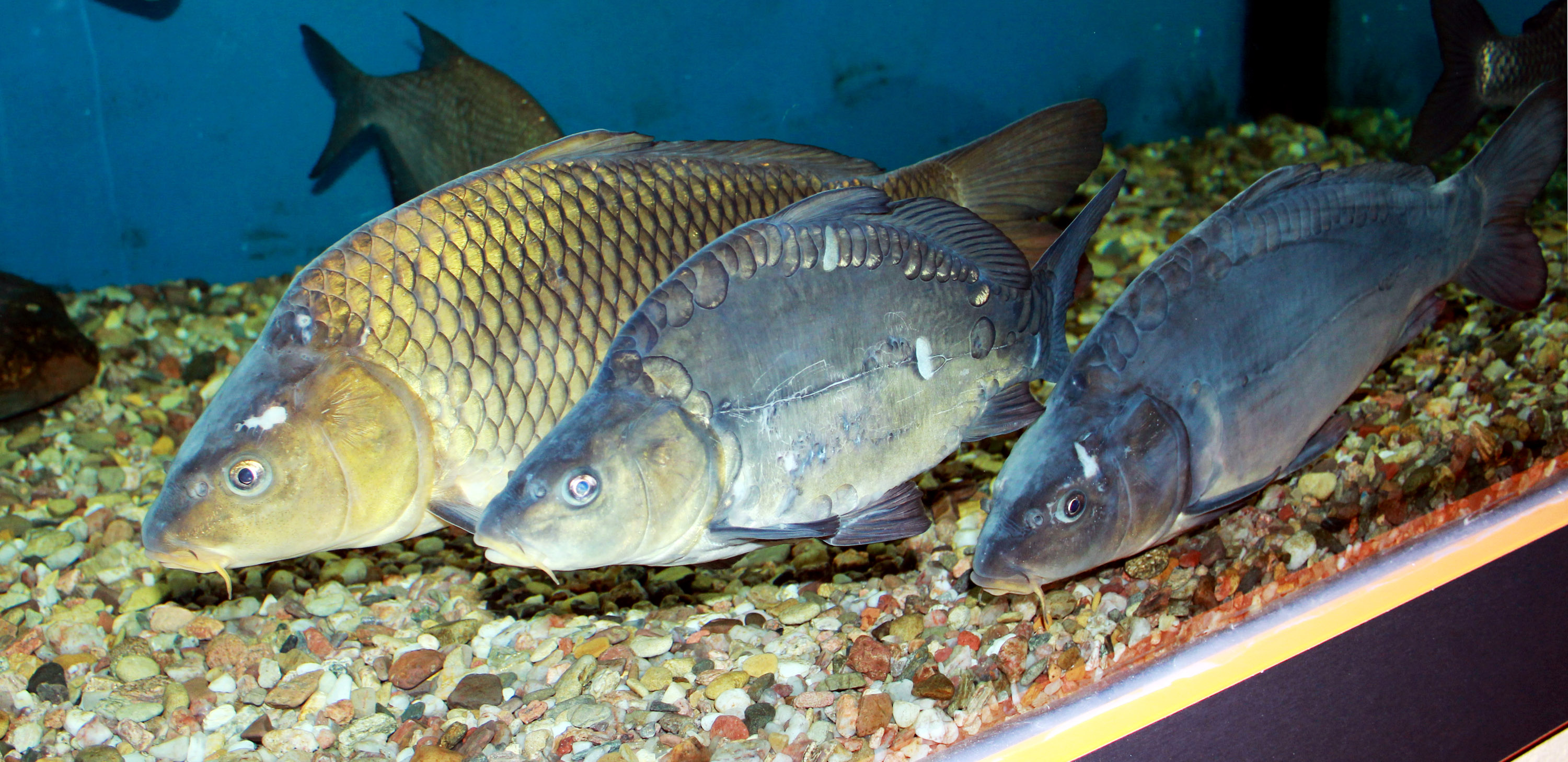 Image result for pictures of carp public domain