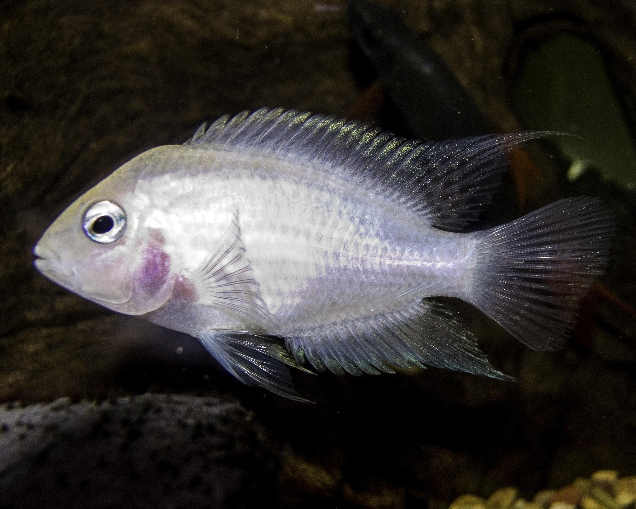 Вьюновые аквариумные рыбки
