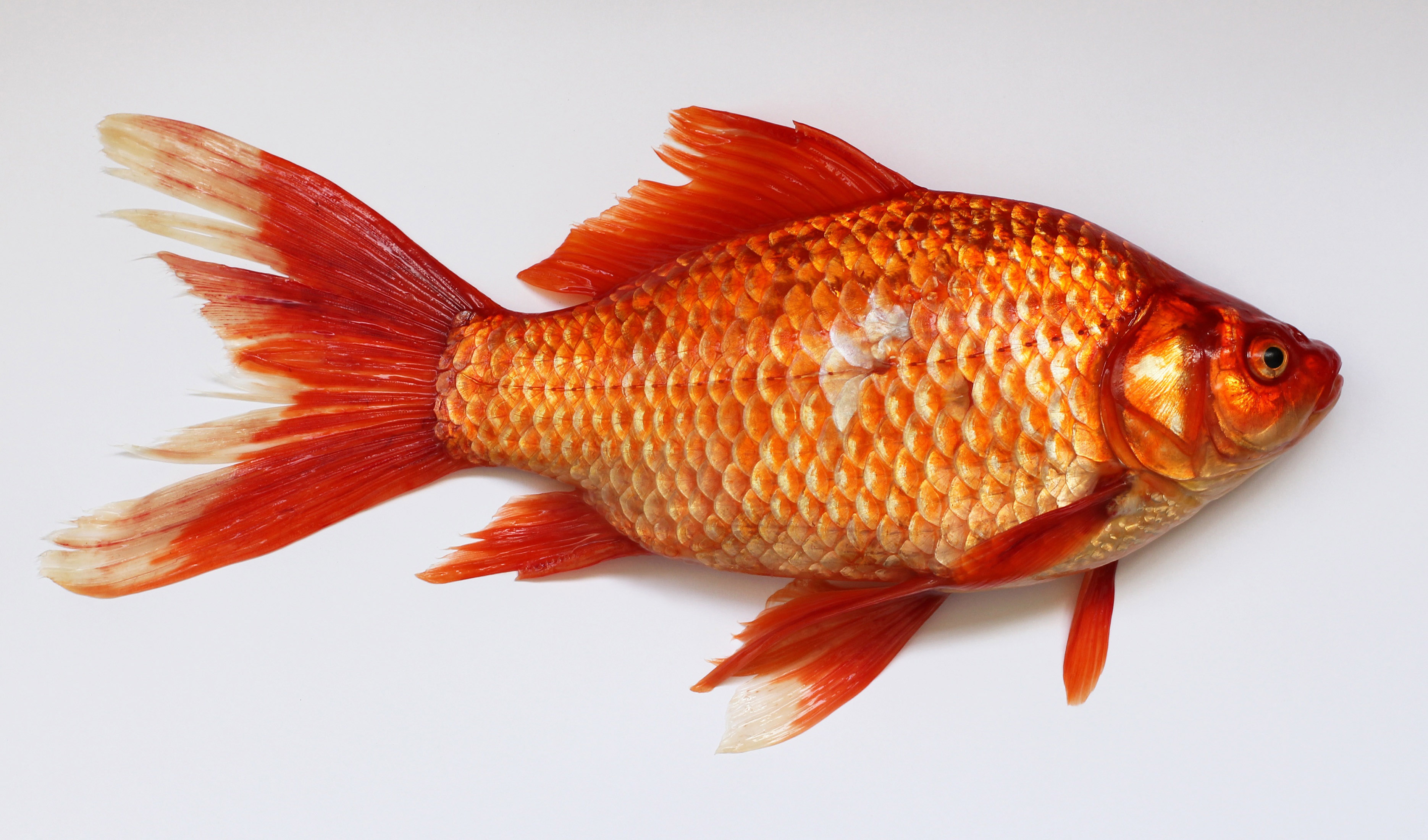 goldfish-out-of-water.jpg