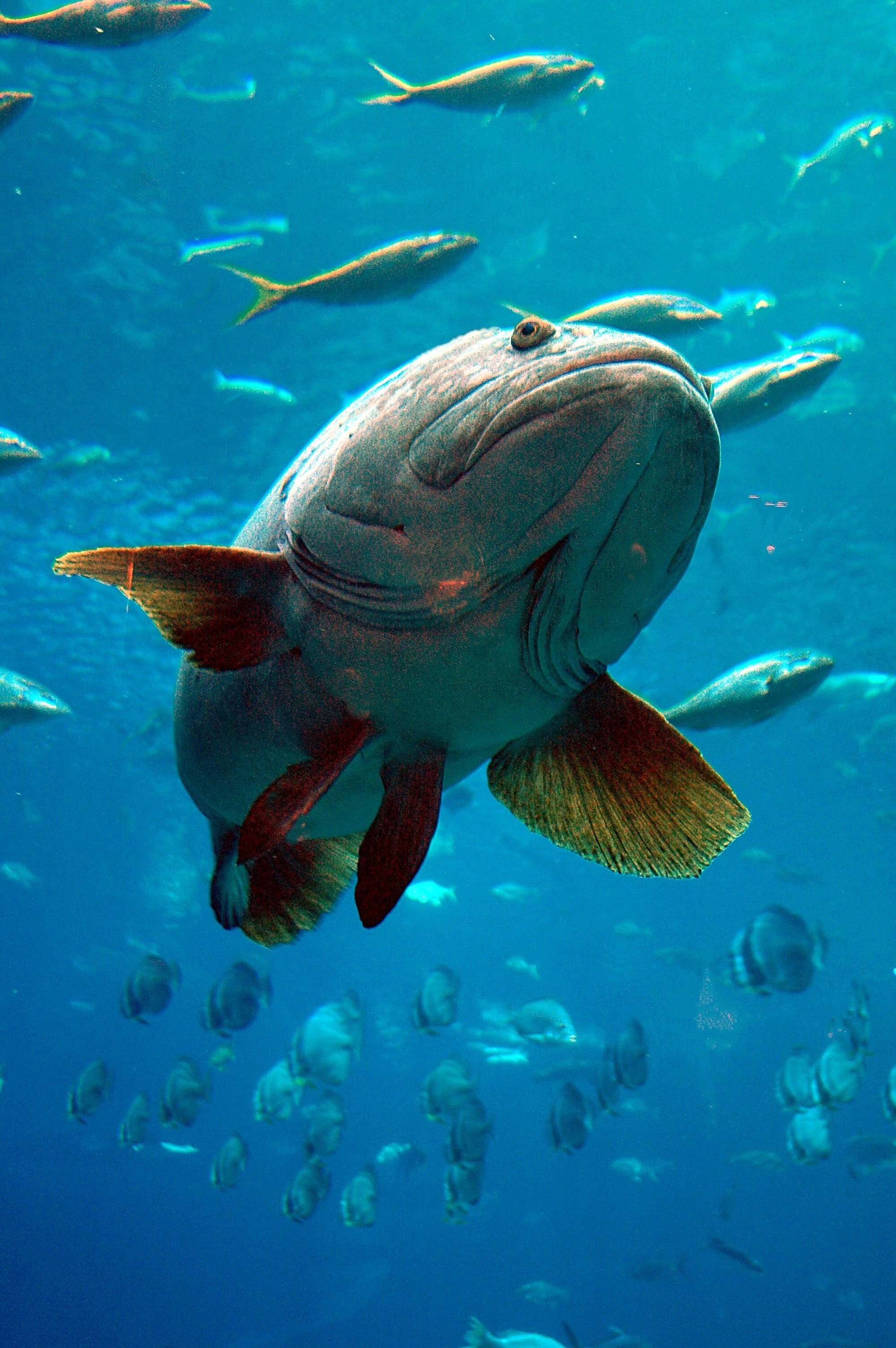 Grouper in the Aquarium close up image Free stock photo Public