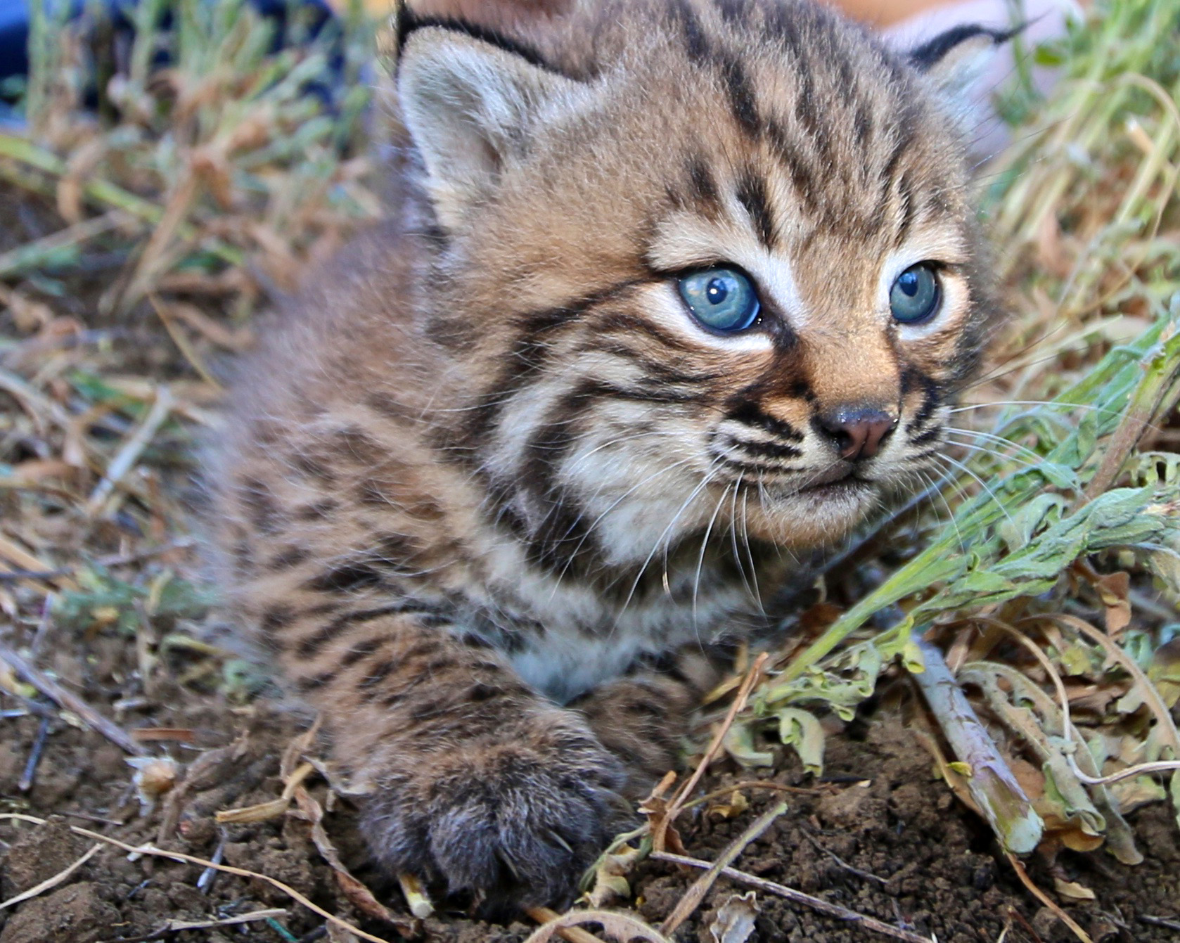 Baby Bobcat Kitten image - Free stock photo - Public ...