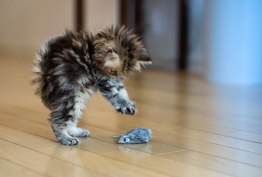 Cat playing with toy mouse image - Free stock photo - Public Domain photo -  CC0 Images