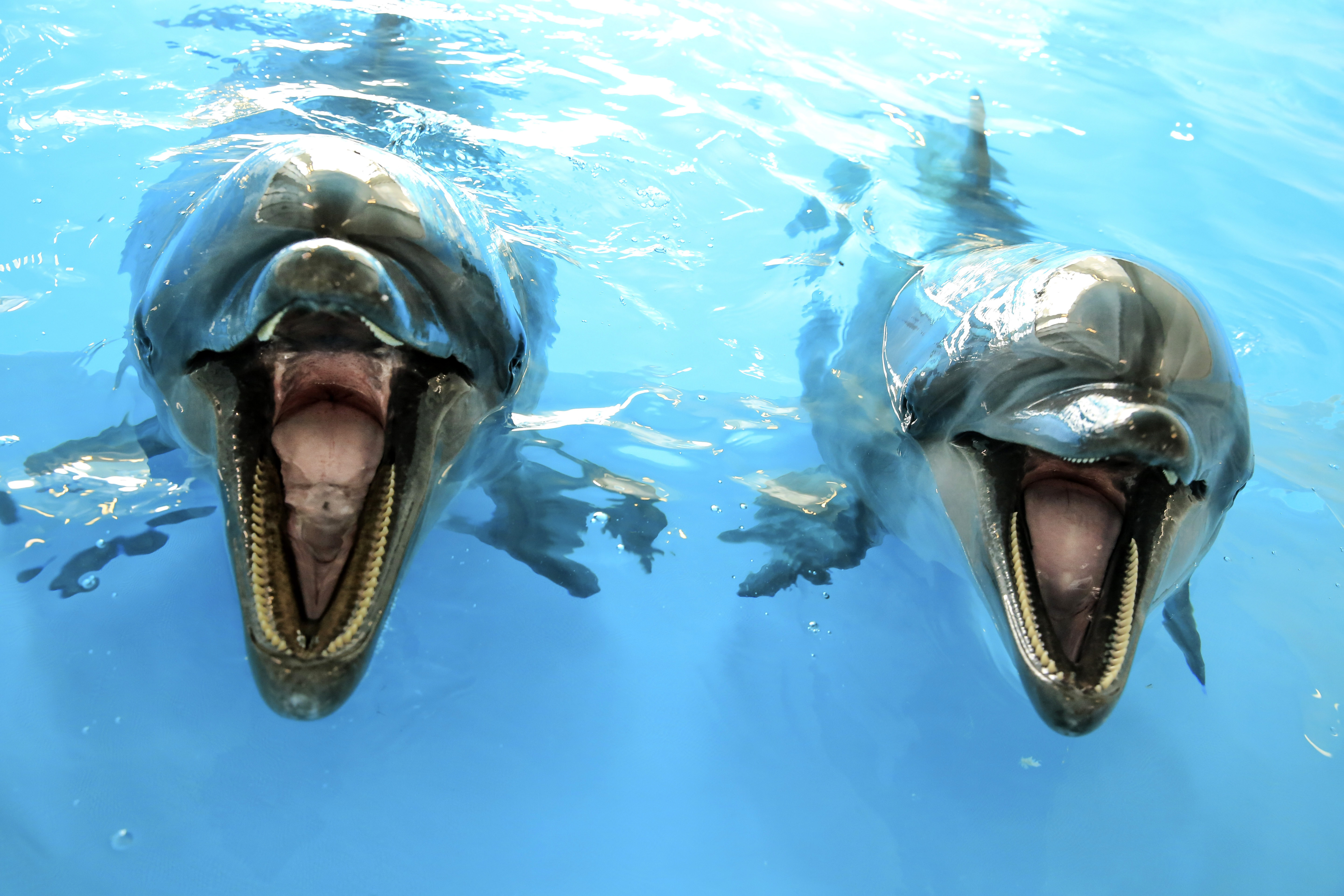 close up of two dolphins image free stock photo public domain