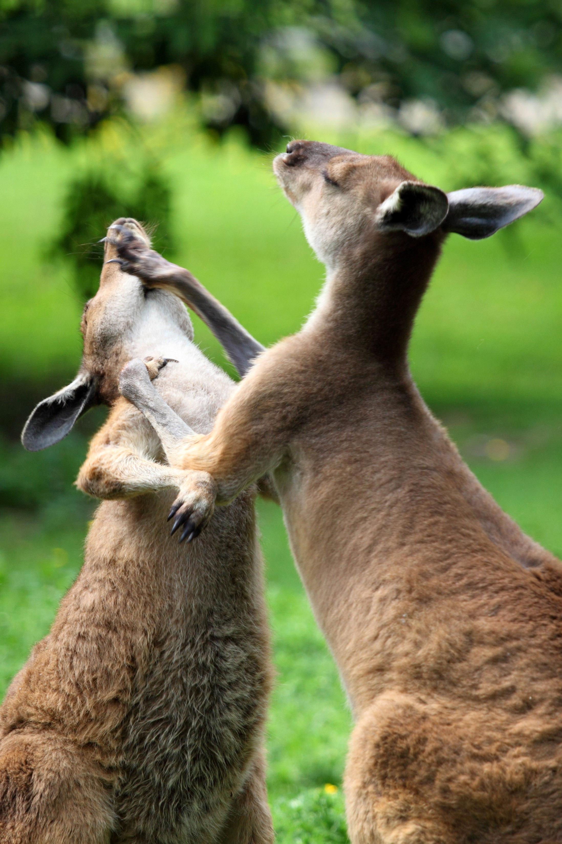 Kangaroos Fighting image - Free stock photo - Public ...