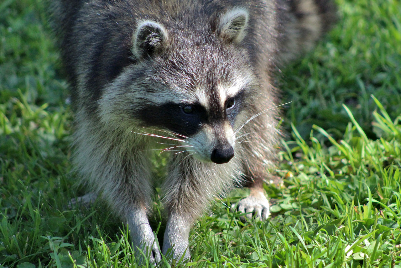 Raccoon looking for food image - Free stock photo - Public ...