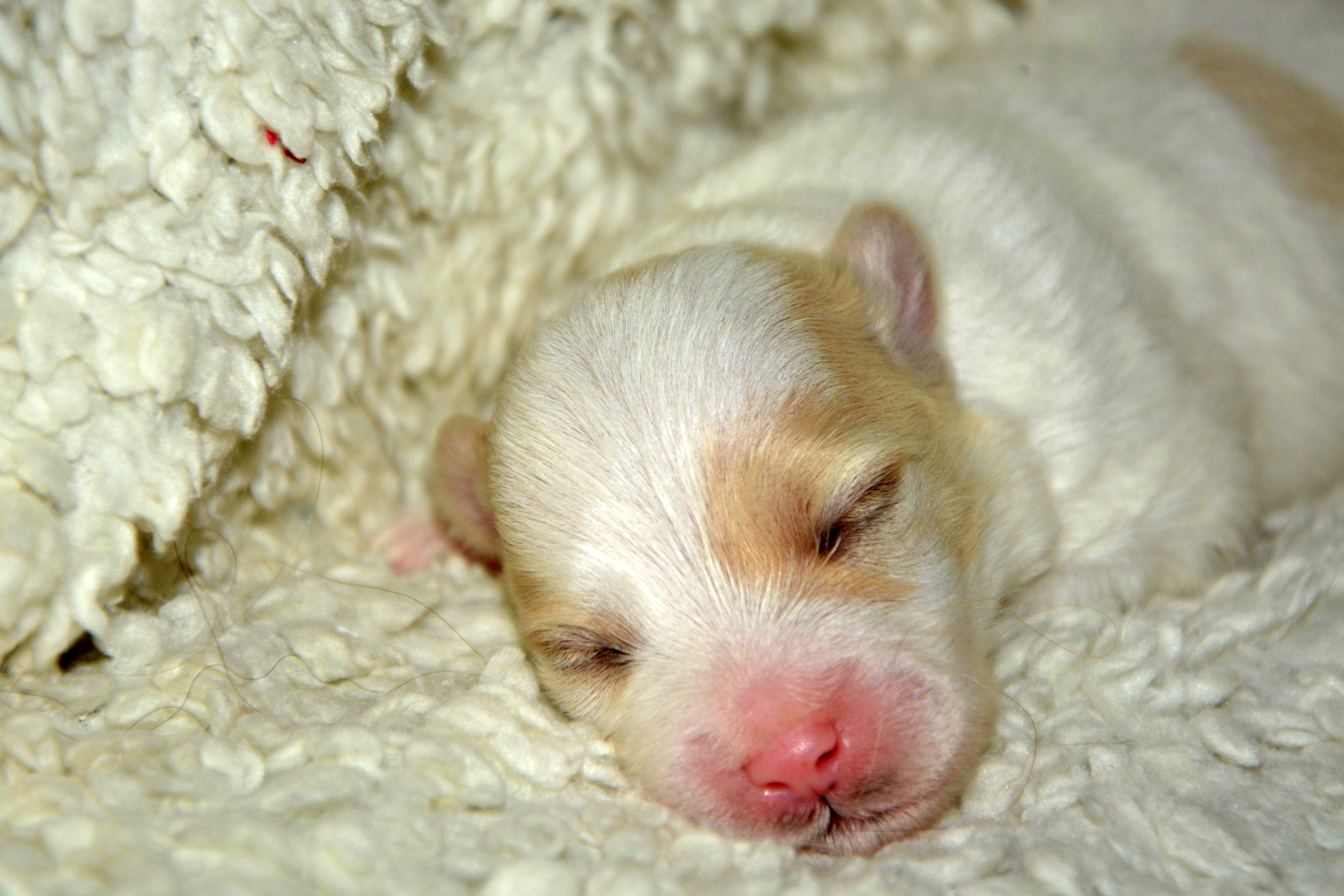 Small Baby Dog Laying In Bed Image Free Stock Photo