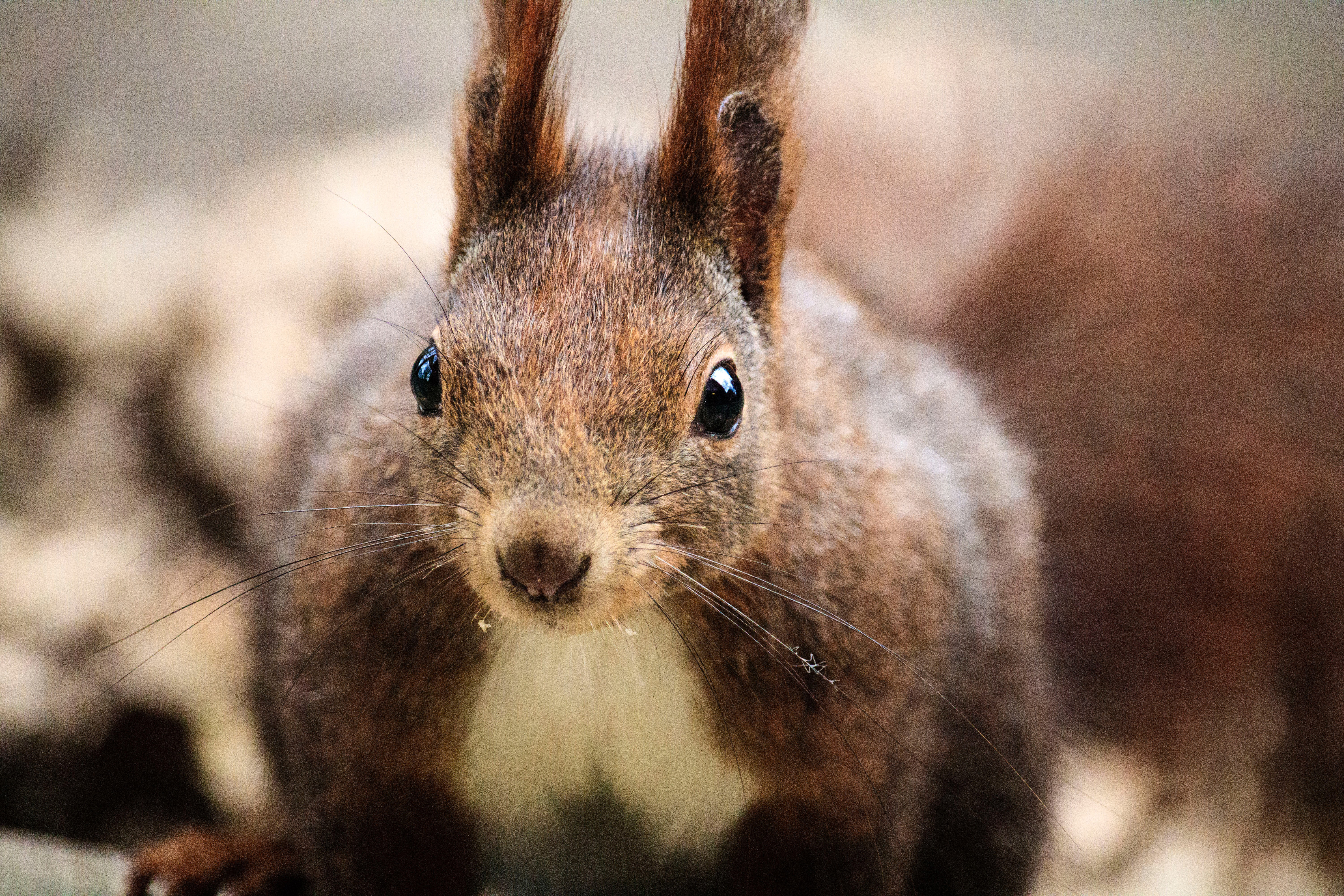 Squirrel with long ears image - Free stock photo - Public ...