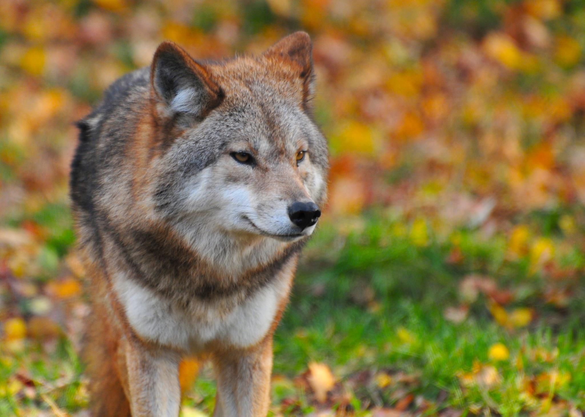 Wolf photo close-up image - Free stock photo - Public ...