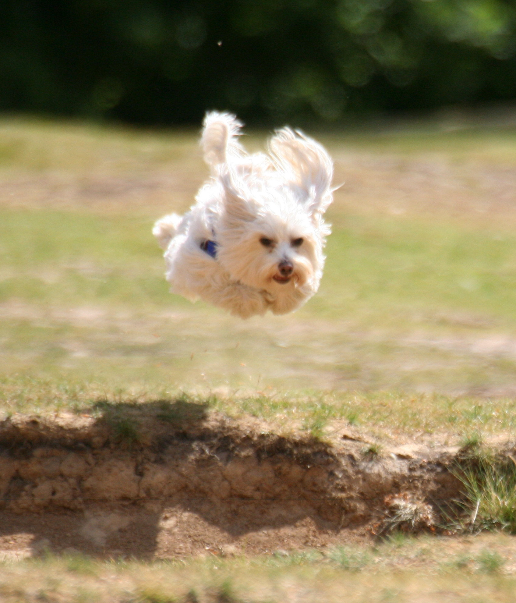Small dog jumping up in the air image free stock photo for Best airline to fly dogs