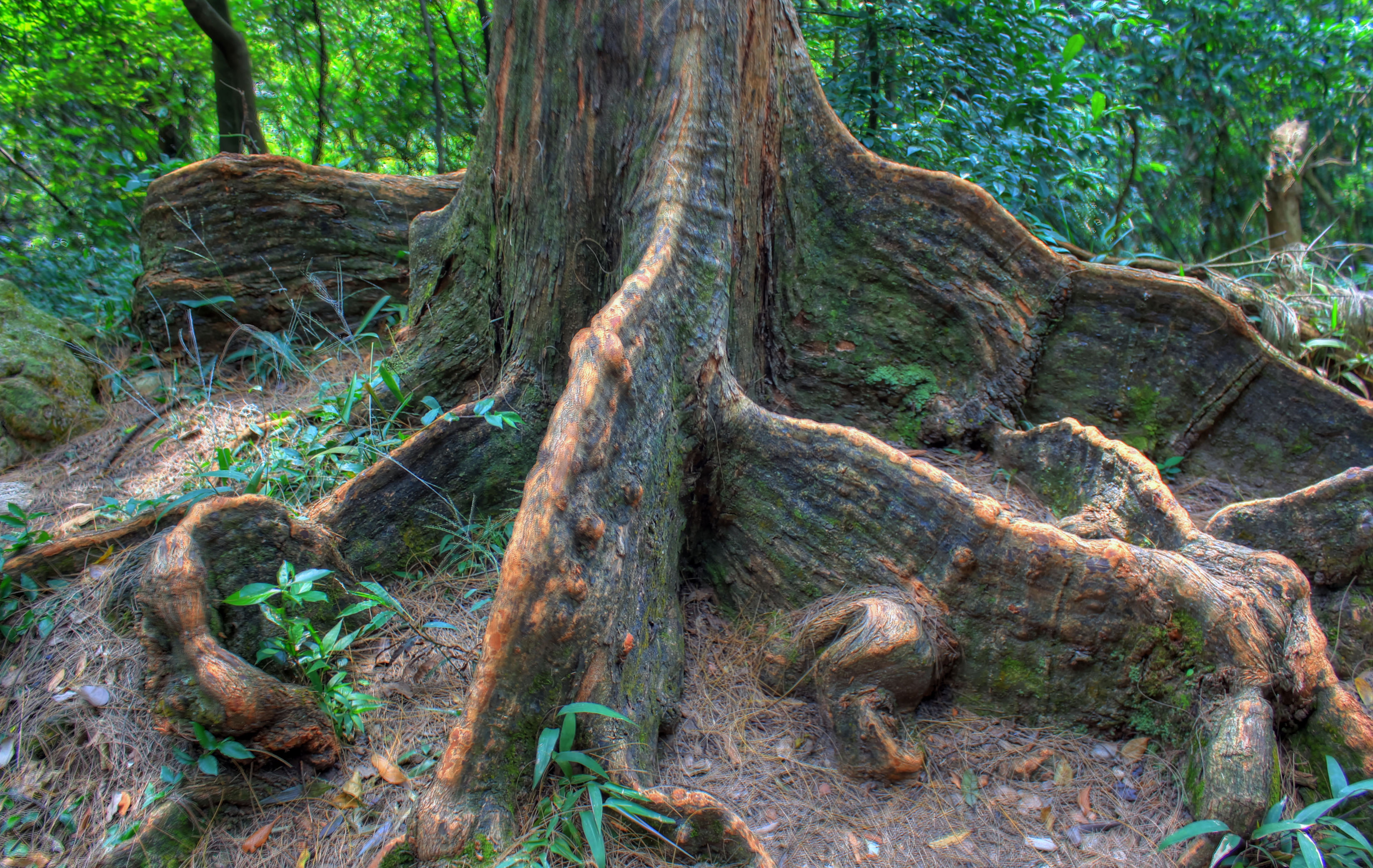 Indian Rubber Tree Roots In Hong Kong China Image Free