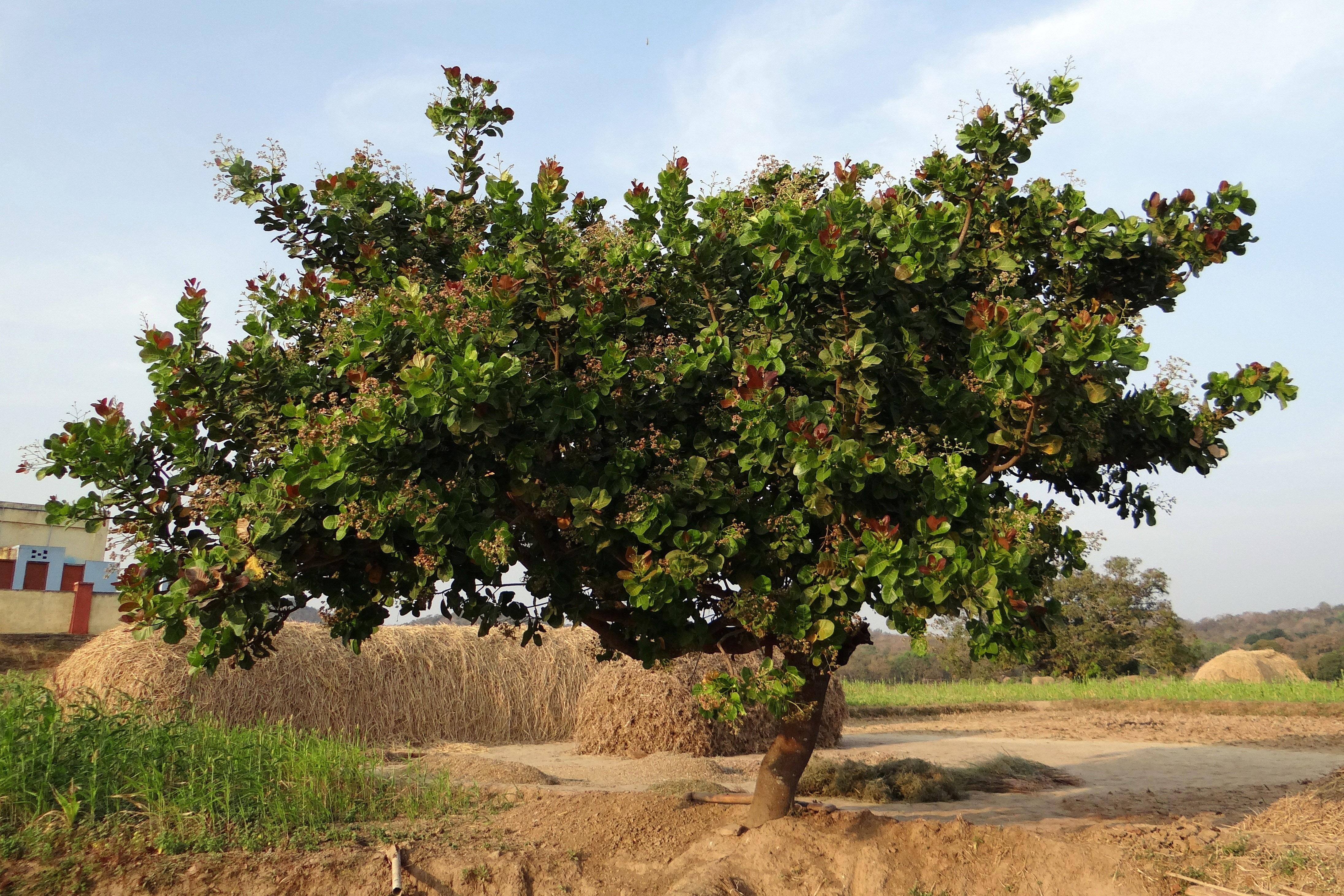 Cashew Nut Tree Image