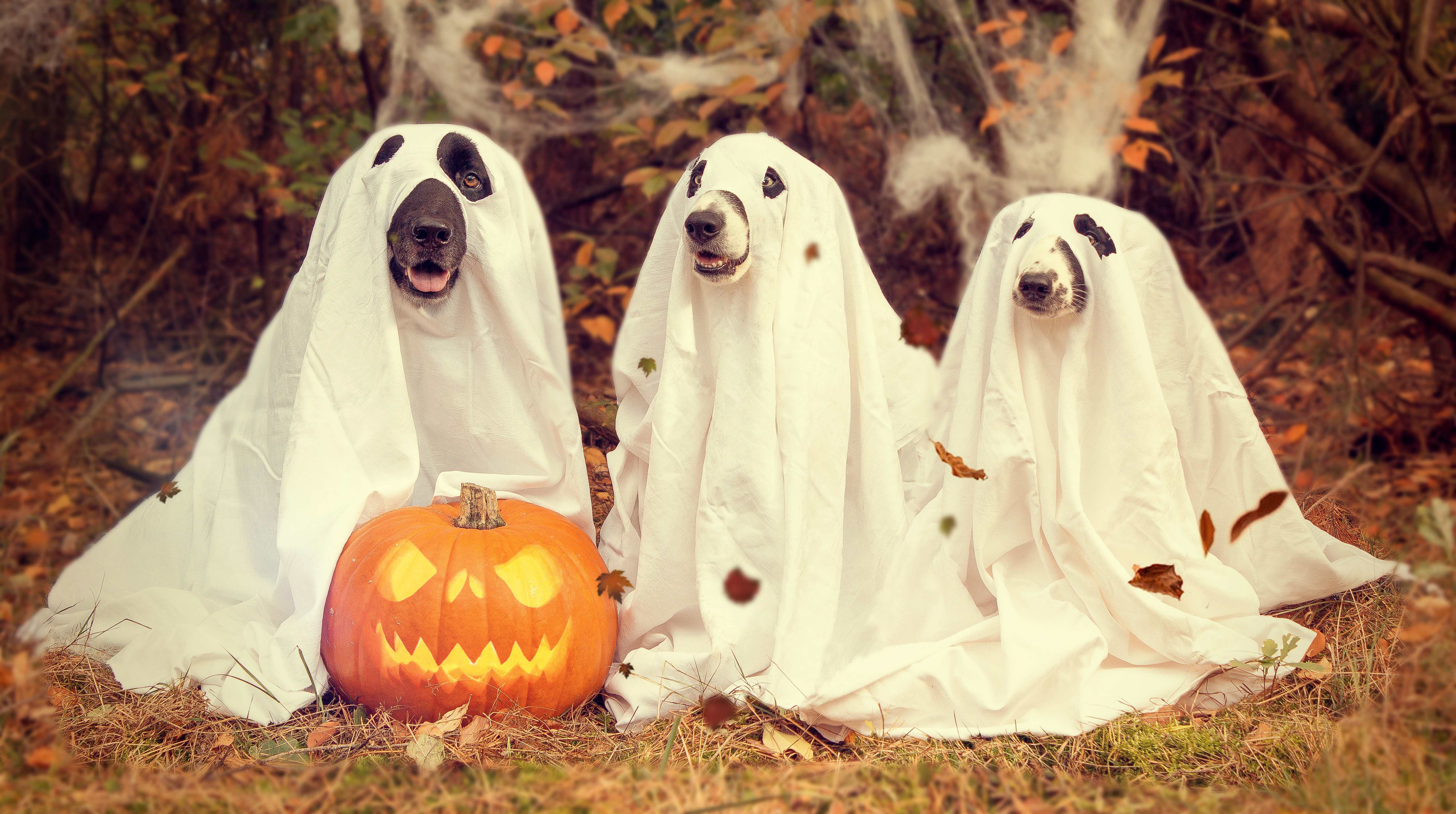 Free Photos u003e Holidays Photos u003e Halloween ... & Dogs in Ghost Halloween Costumes image - Free stock photo - Public ...