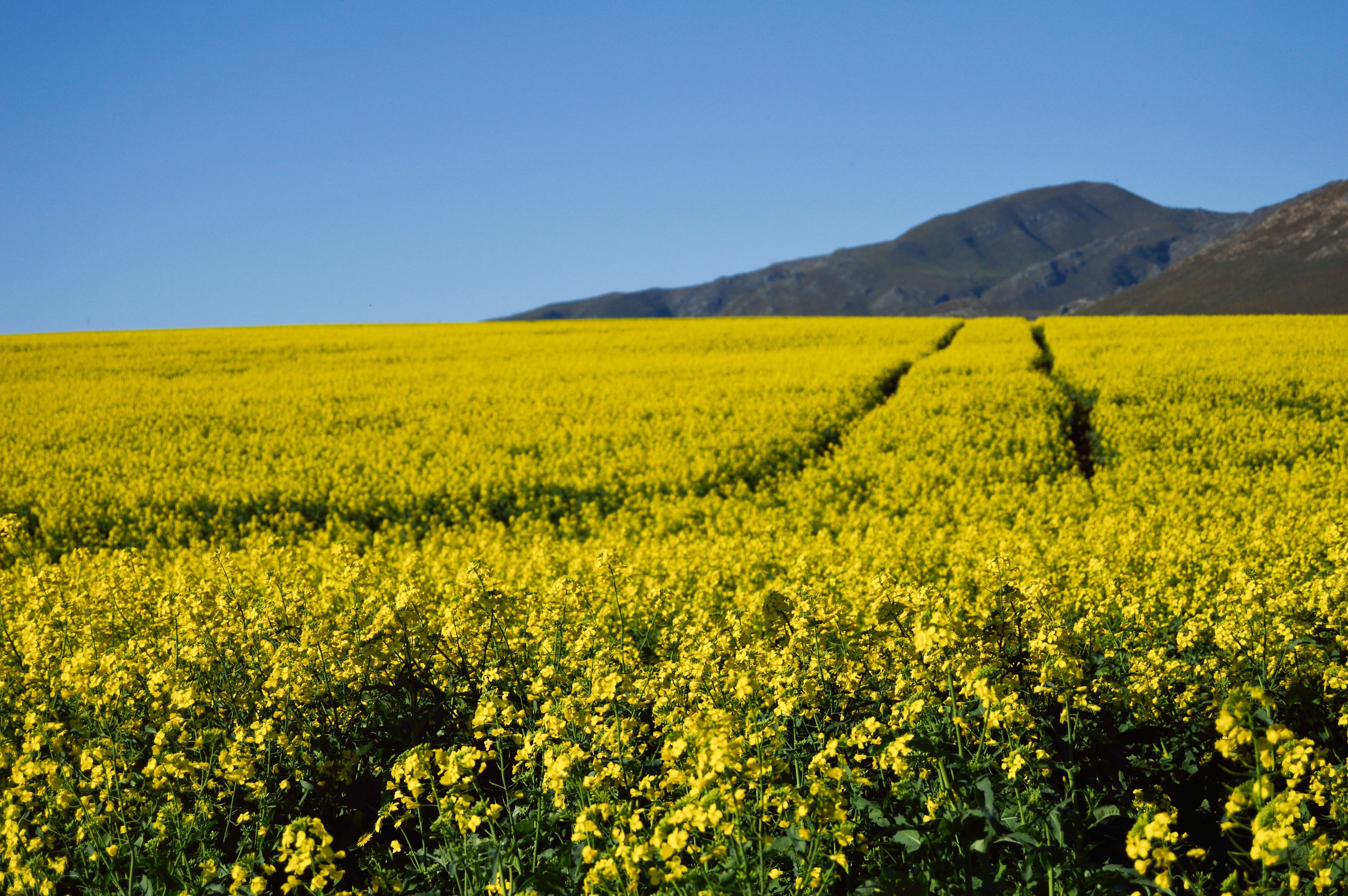 Blue Sky Hills And Yellow Flowers Image Free Stock Photo