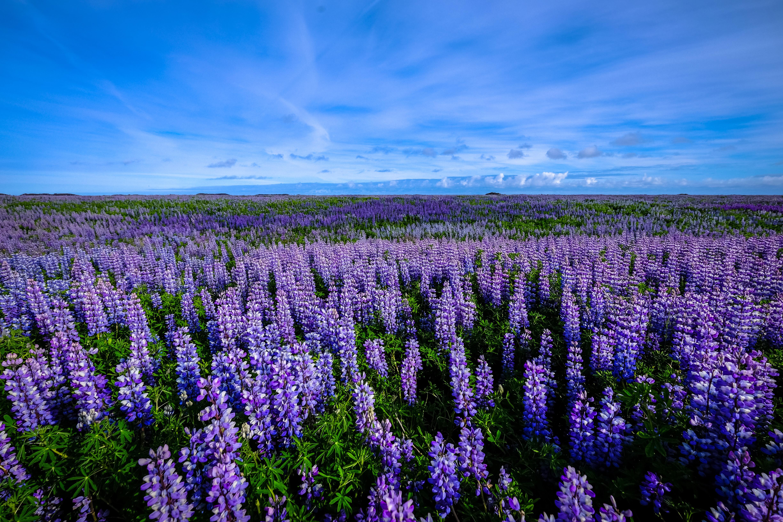 Purple Flower Field Landscape Image Free Stock Photo