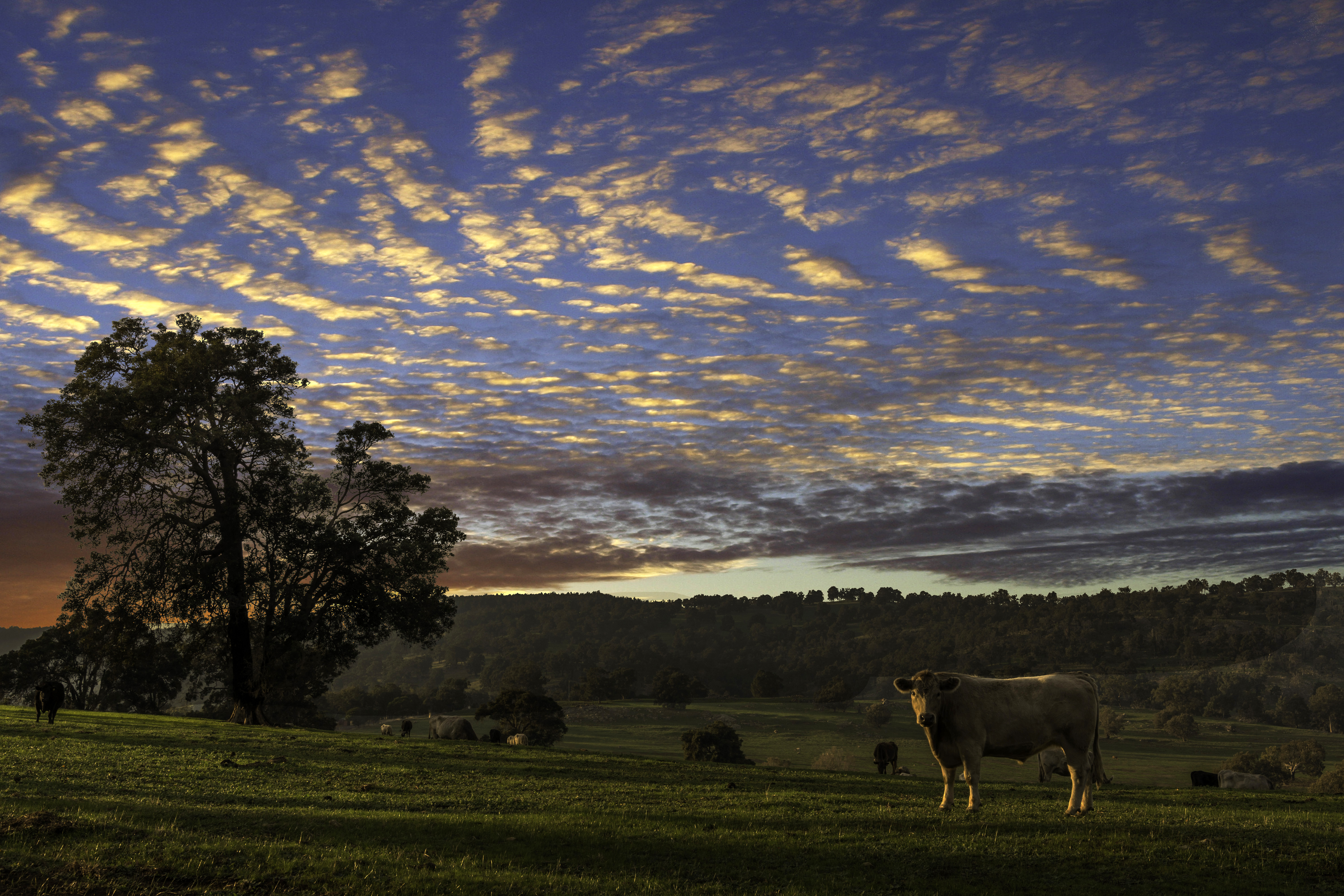 Sky Over The Farm Landscape With Cow At Dusk Image Free Stock Electric Barbed Wire Photo Public Domain Pictures
