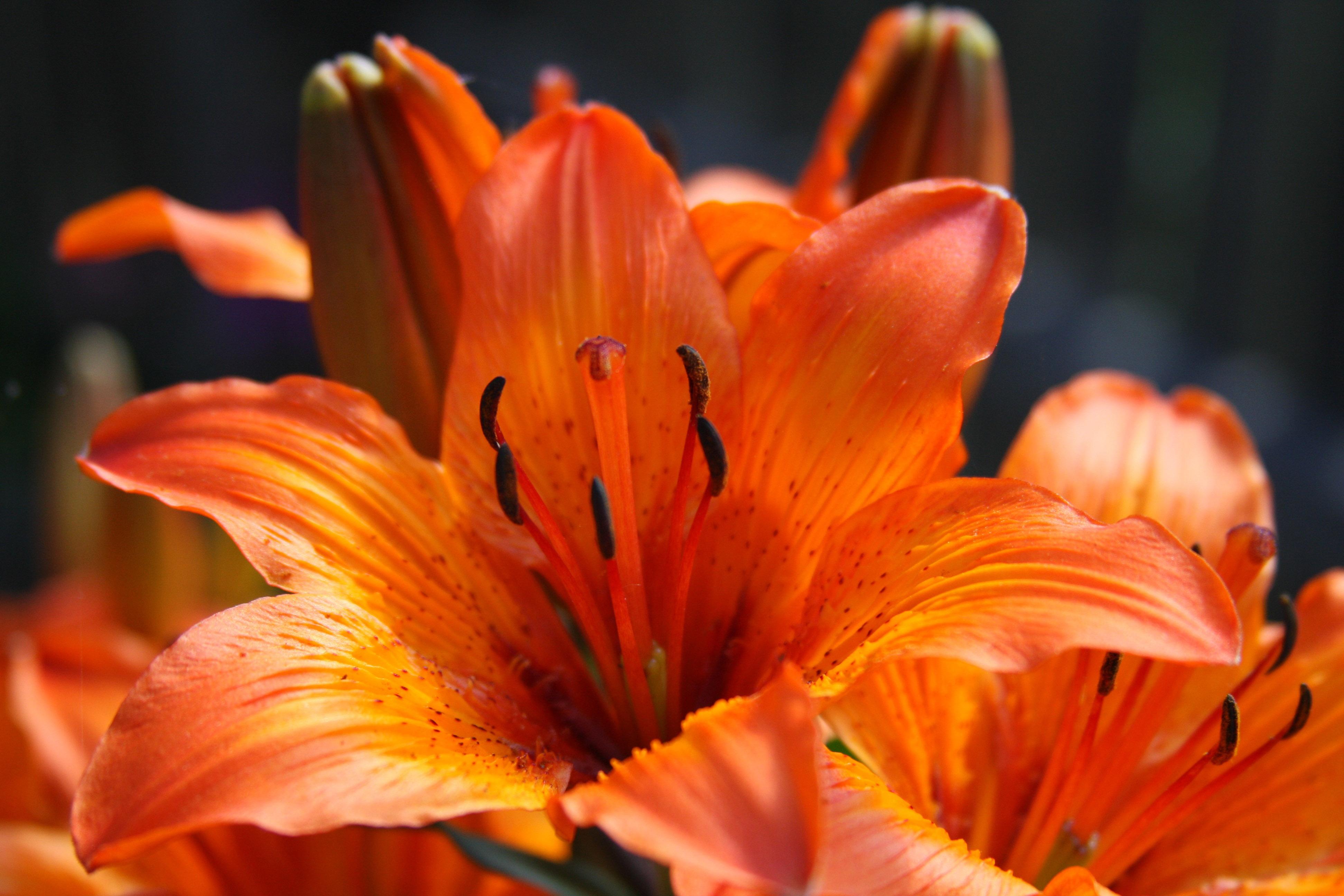 Beautiful orange lily flower image free stock photo public free photos plants photos beautiful orange lily flower izmirmasajfo