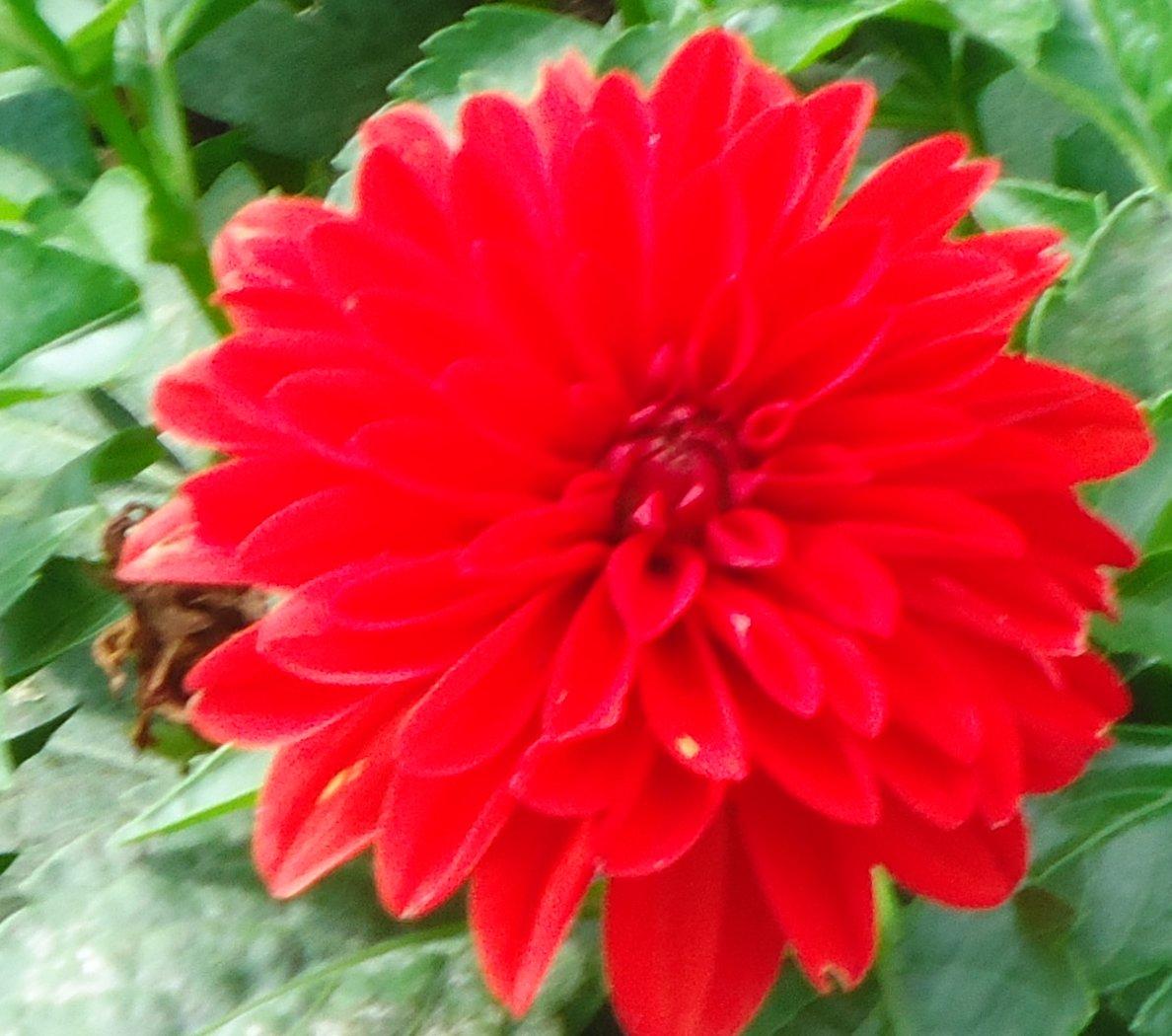 Red dahlia flower image free stock photo public domain photo free photos plants photos red dahlia flower izmirmasajfo