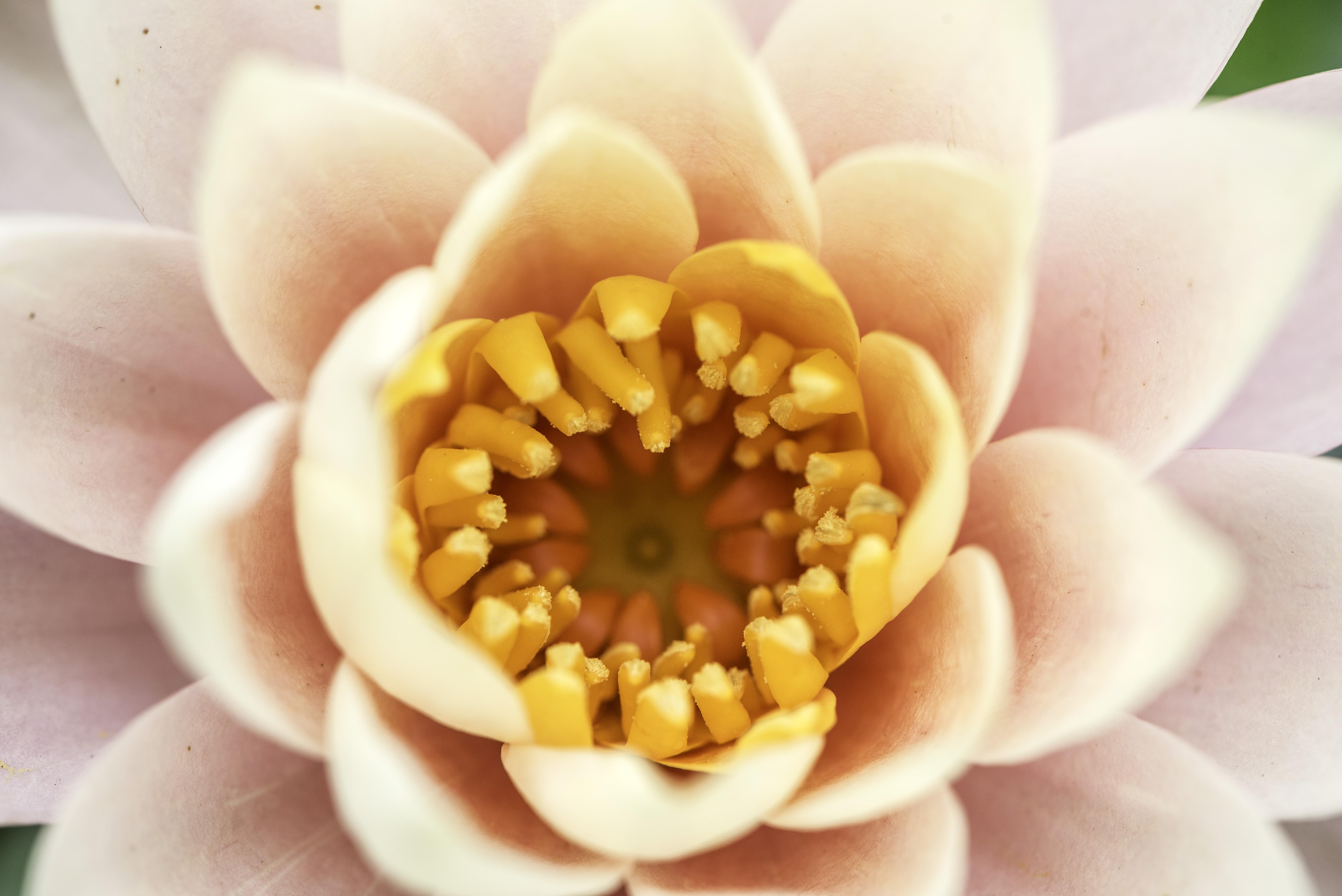 Orange Core Of White Flower Macro Image Free Stock Photo Public