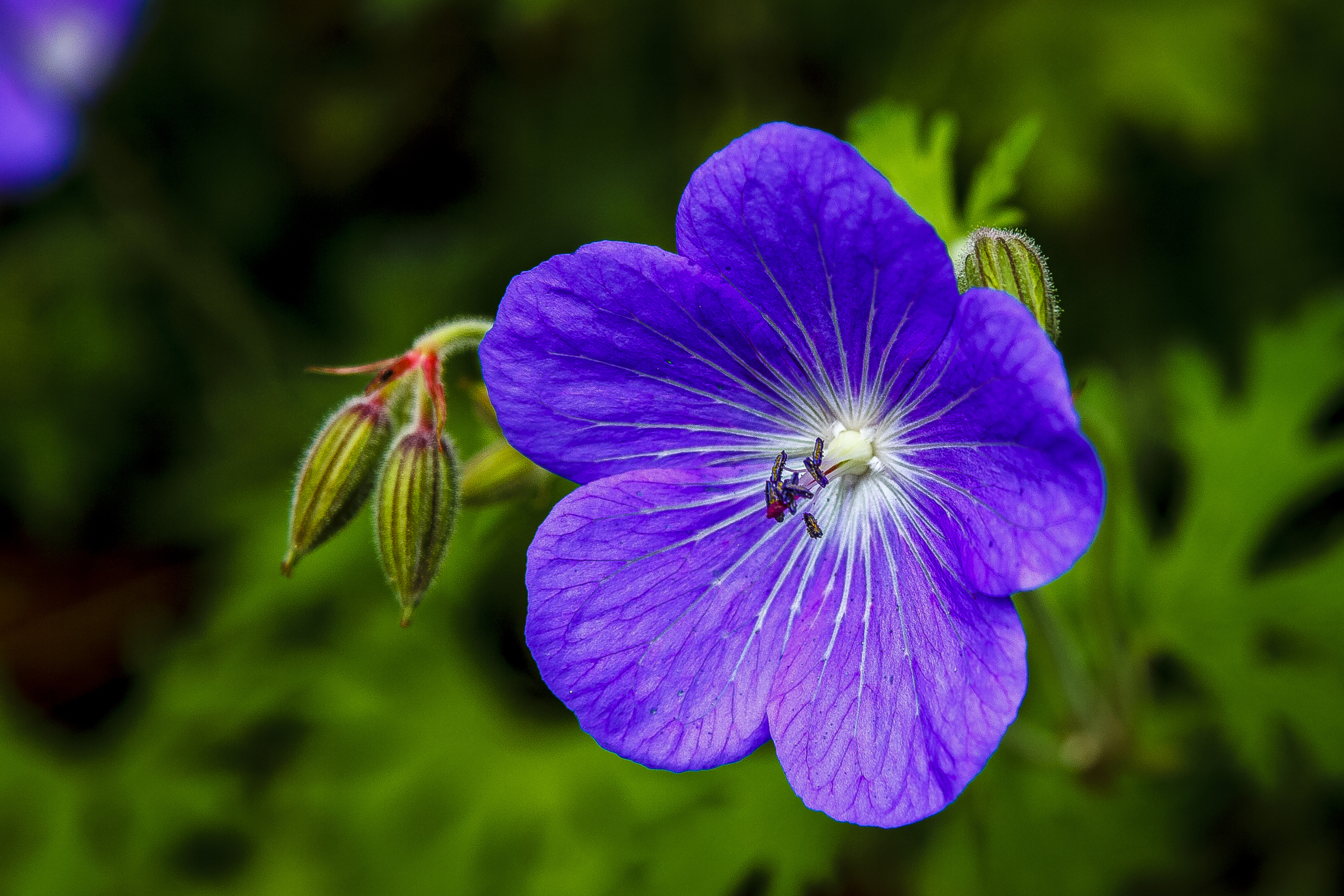violet flower image - free stock photo