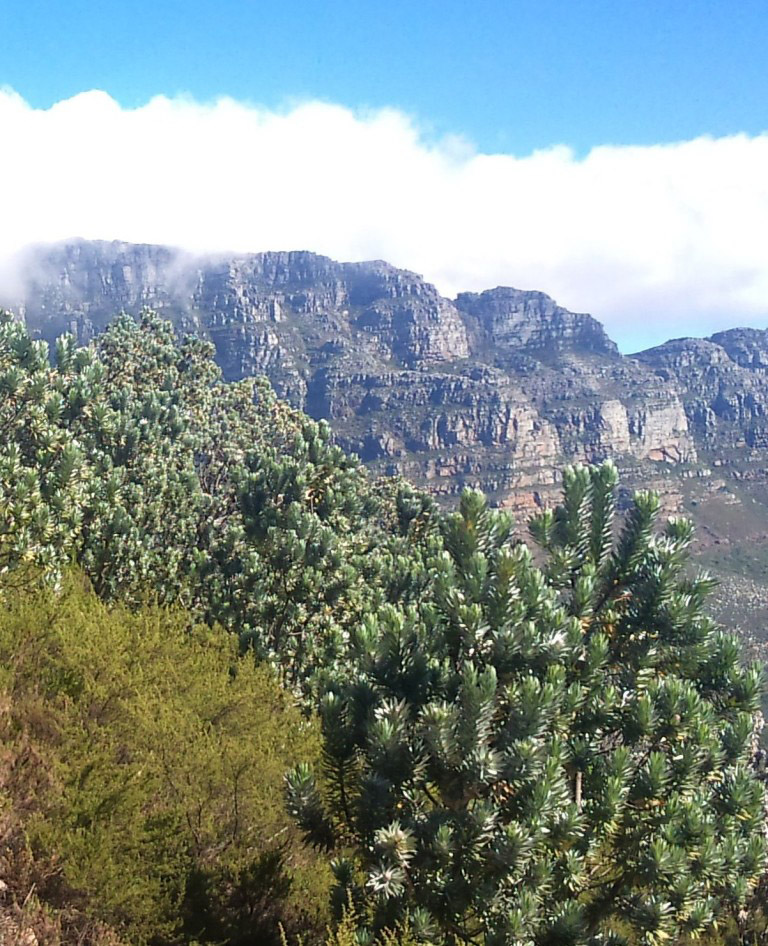 Silver Trees On The Mountainside On Table Mountain Near