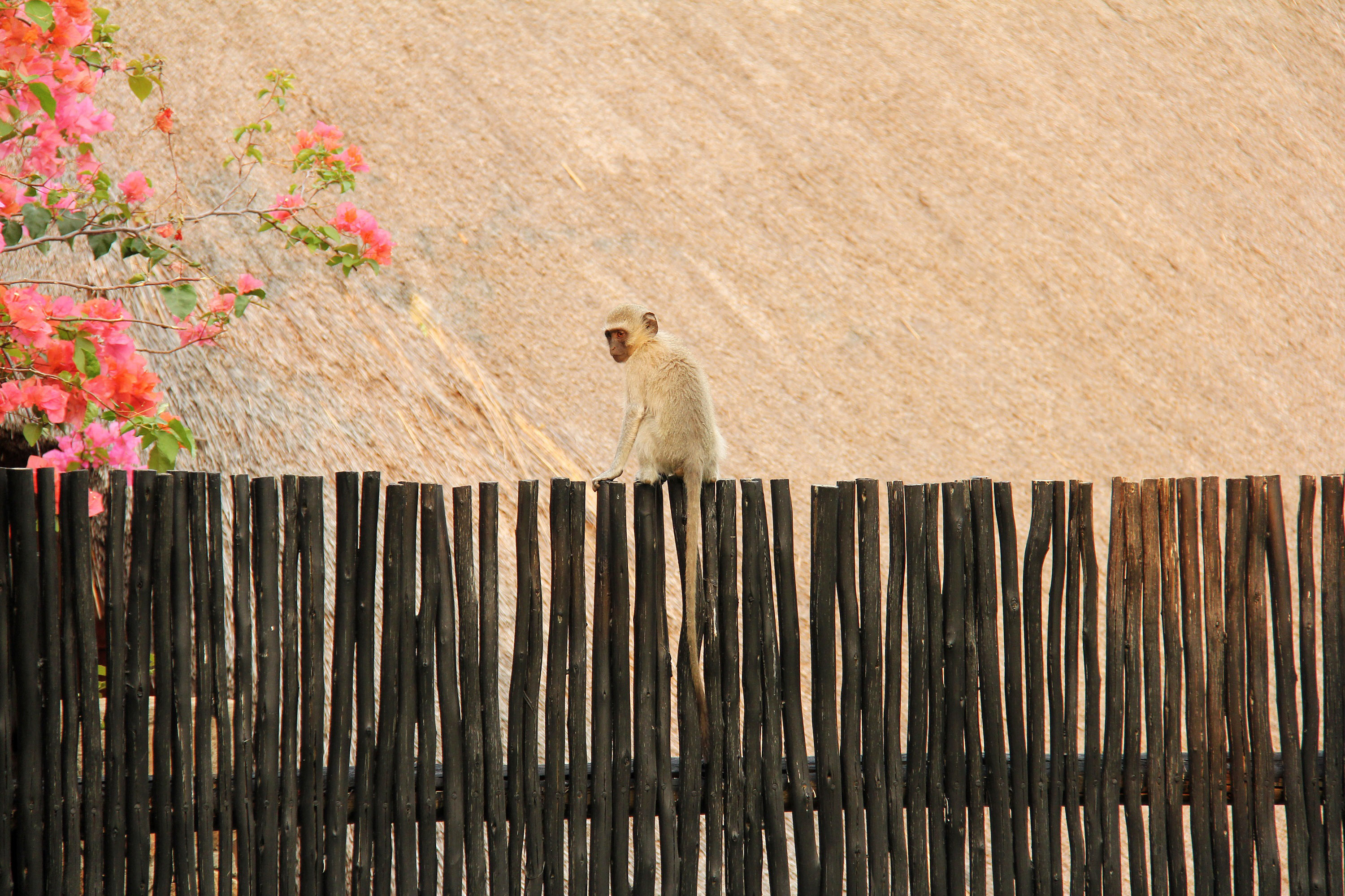 free stock photo of monkey on the fence in johannesburg south