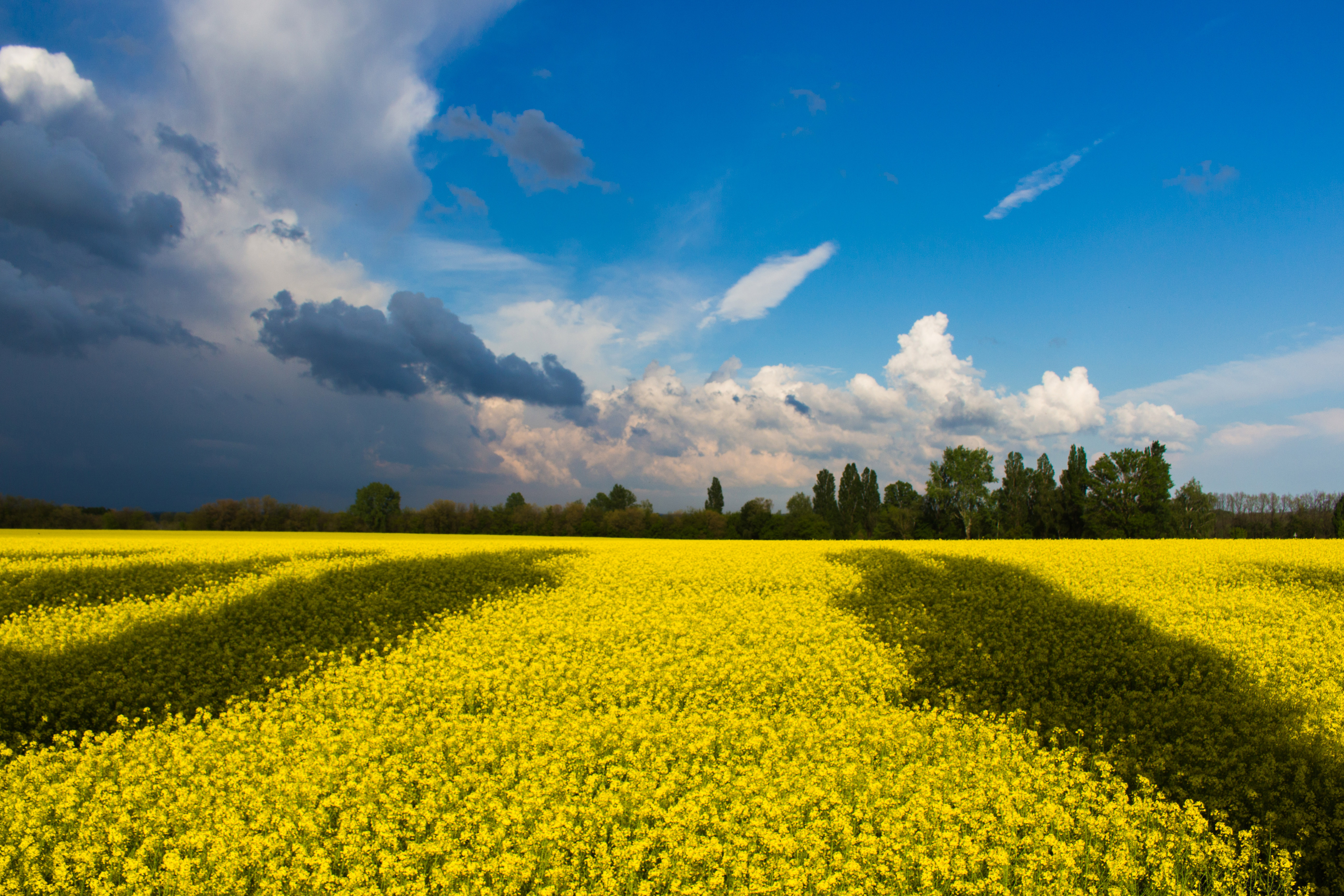 Yellow flower fields in ukraine image free stock photo public free photos ukraine photos other ukraine photos yellow flower fields mightylinksfo