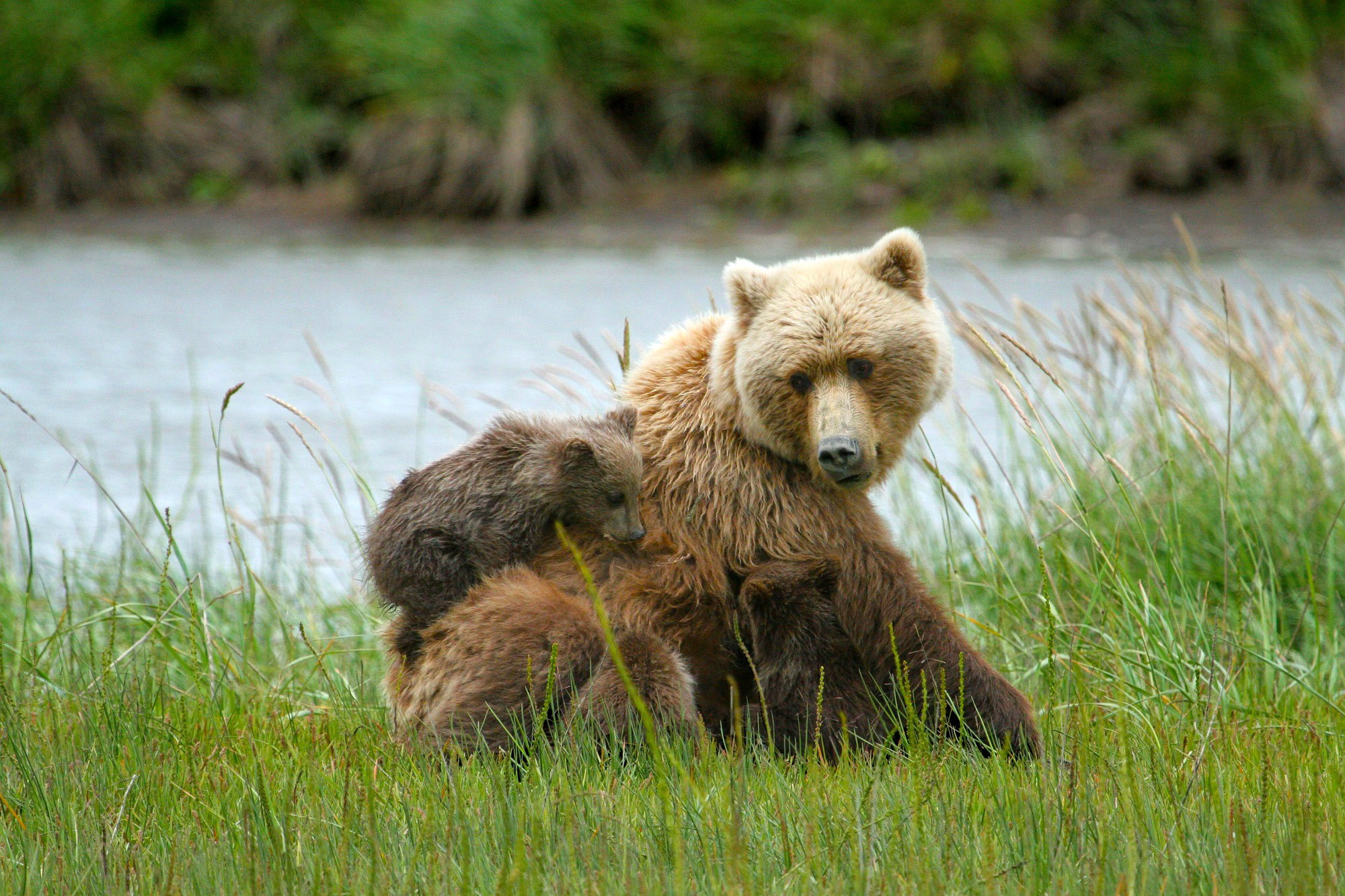 Brown bears in Lake Clark National Park, Alaska image - Free stock ...