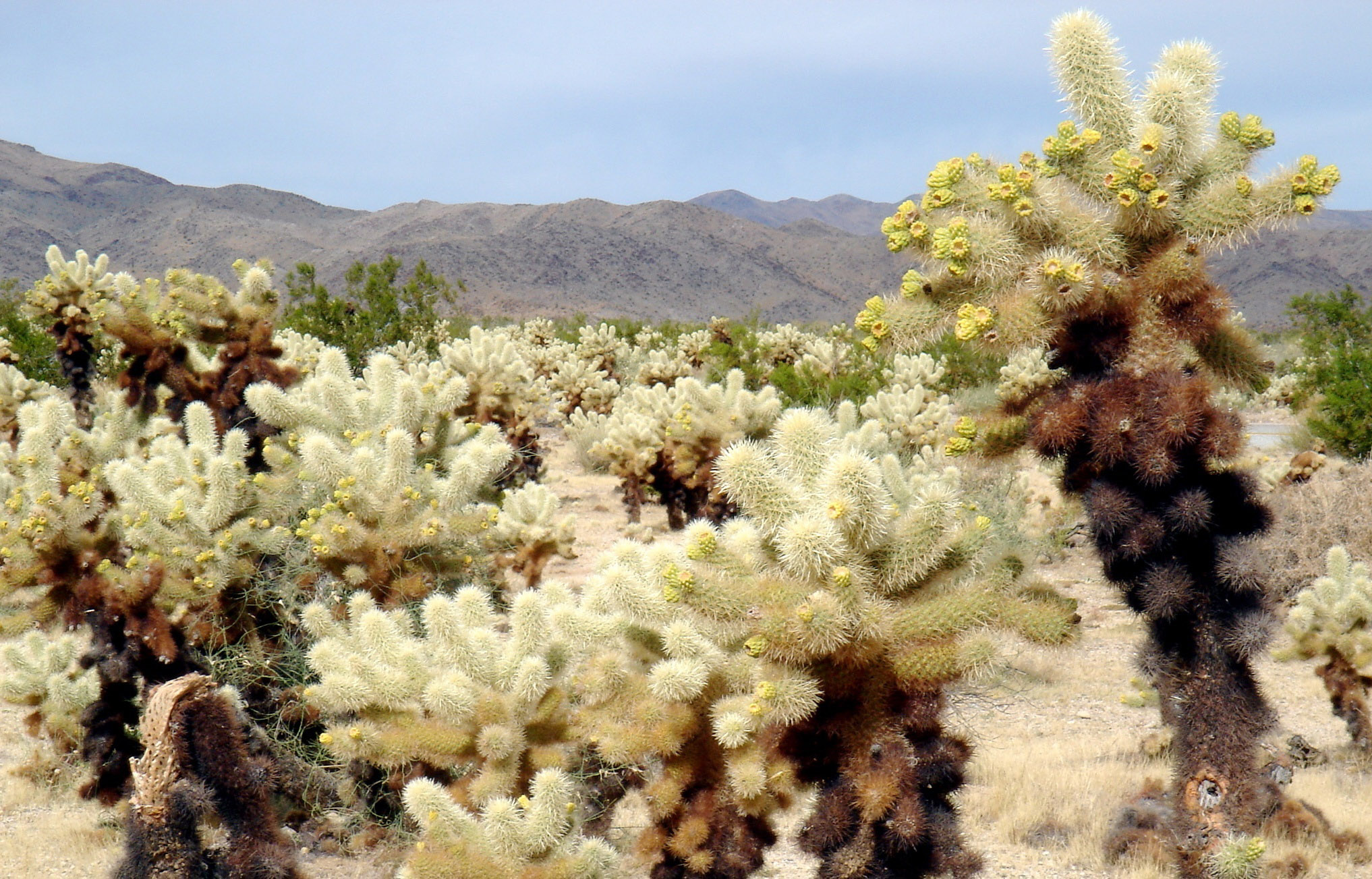 Cholla cactus garden in joshua tree national park - Cholla cactus garden joshua tree ...