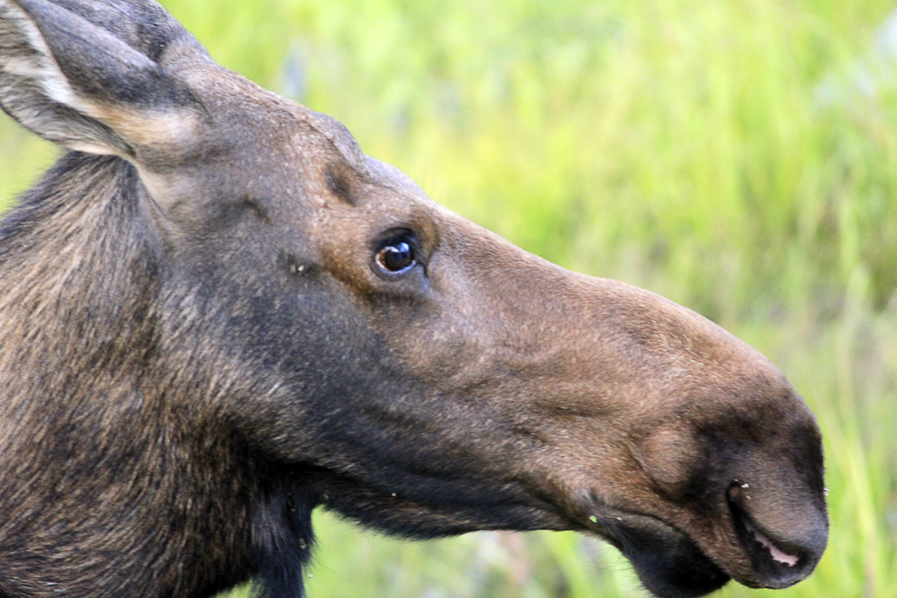 free stock photo of close up of a moose at rocky mountains