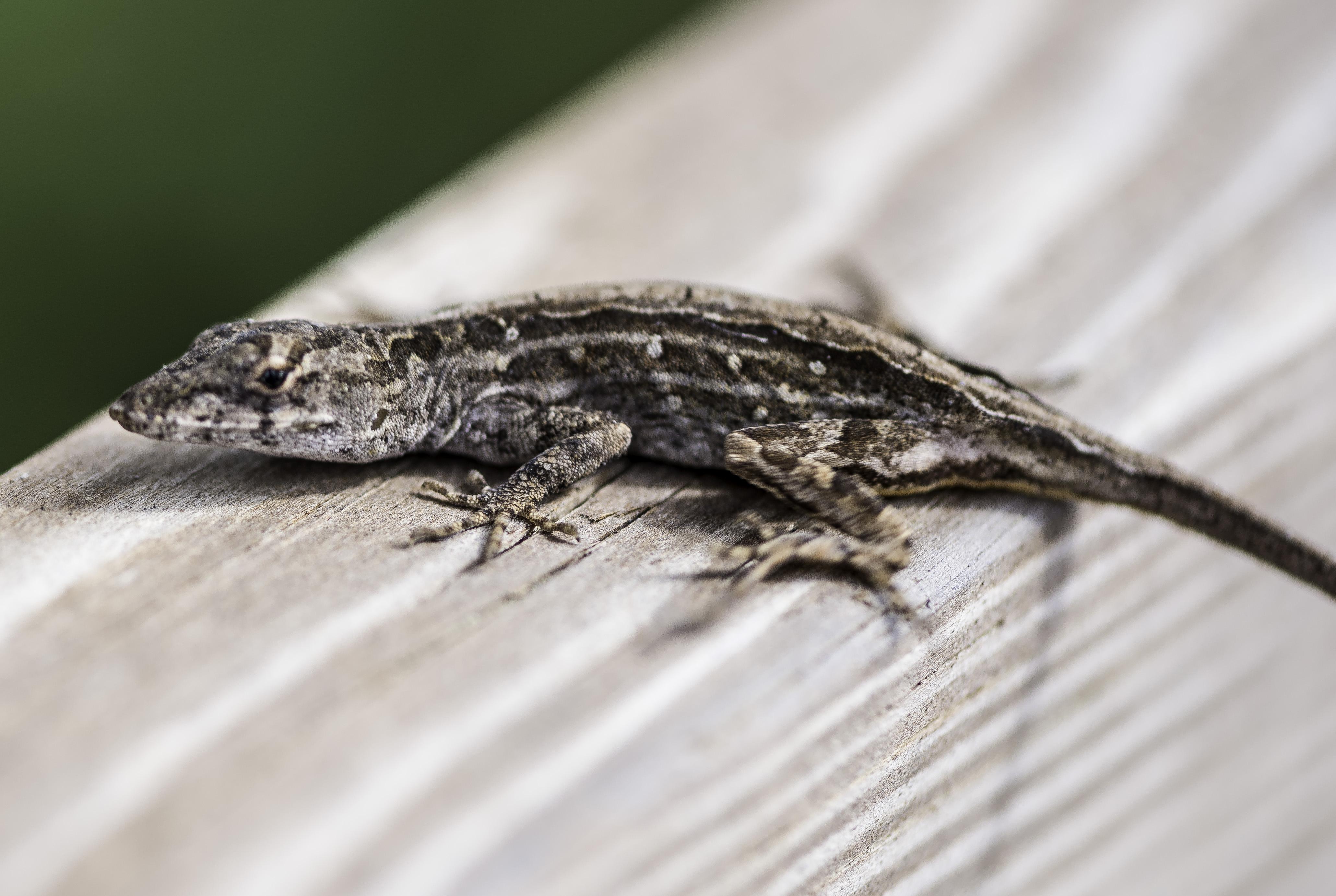 U S Lizard Small Lizard on...