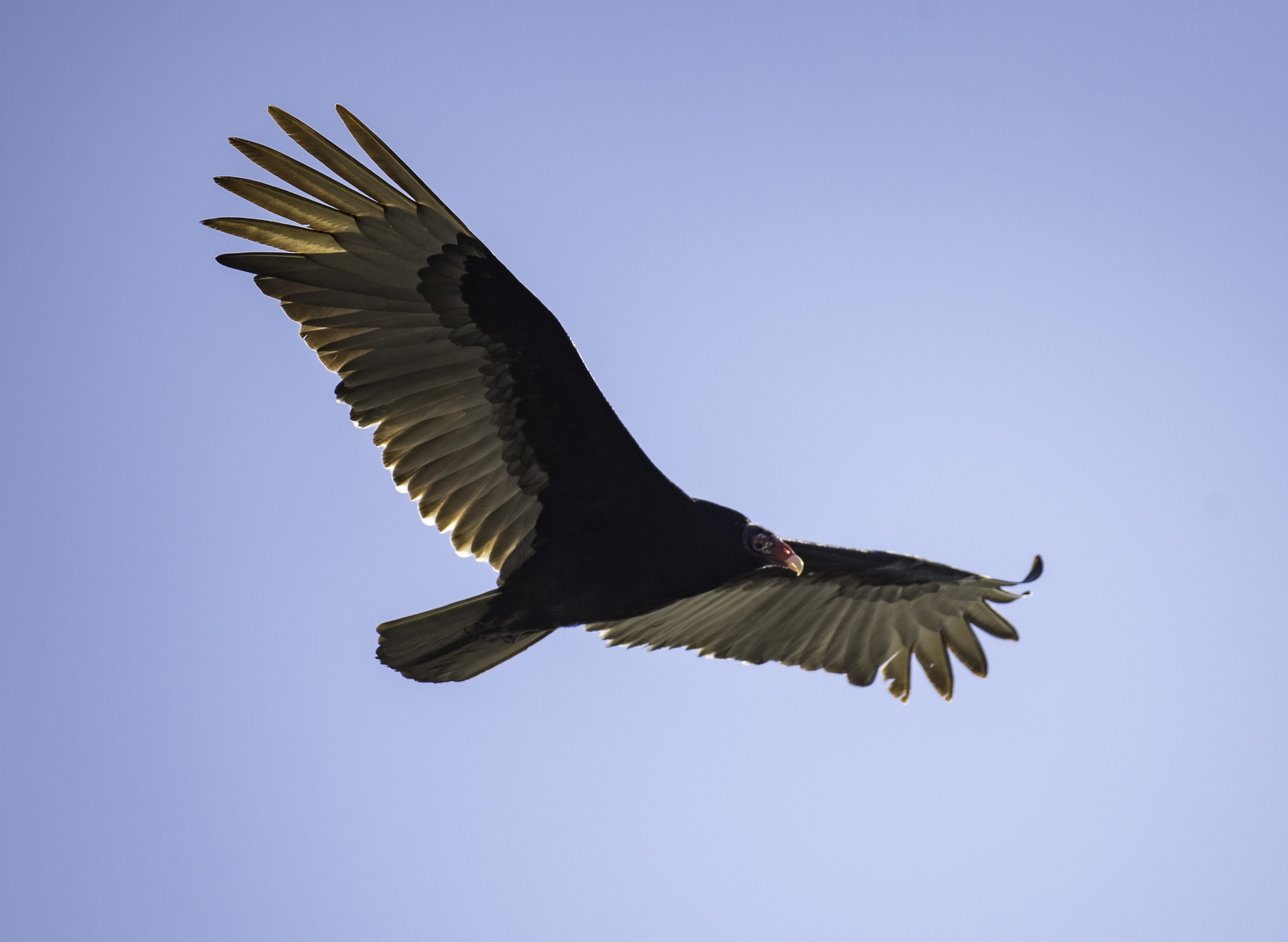 vulture in flight in full wingspan image free stock photo public