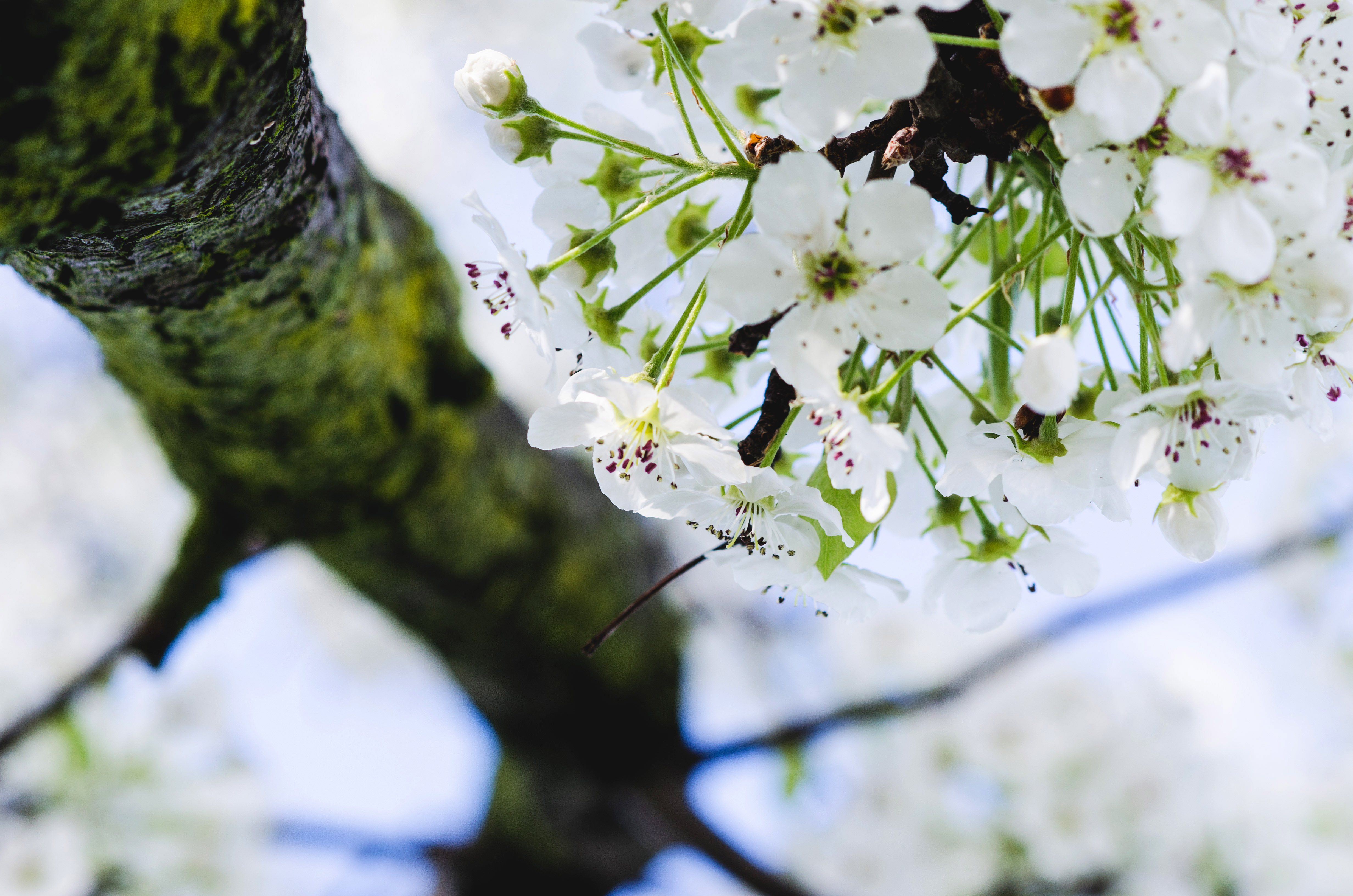 White Flowers On Tree In Trenton New Jersey Image Free Stock
