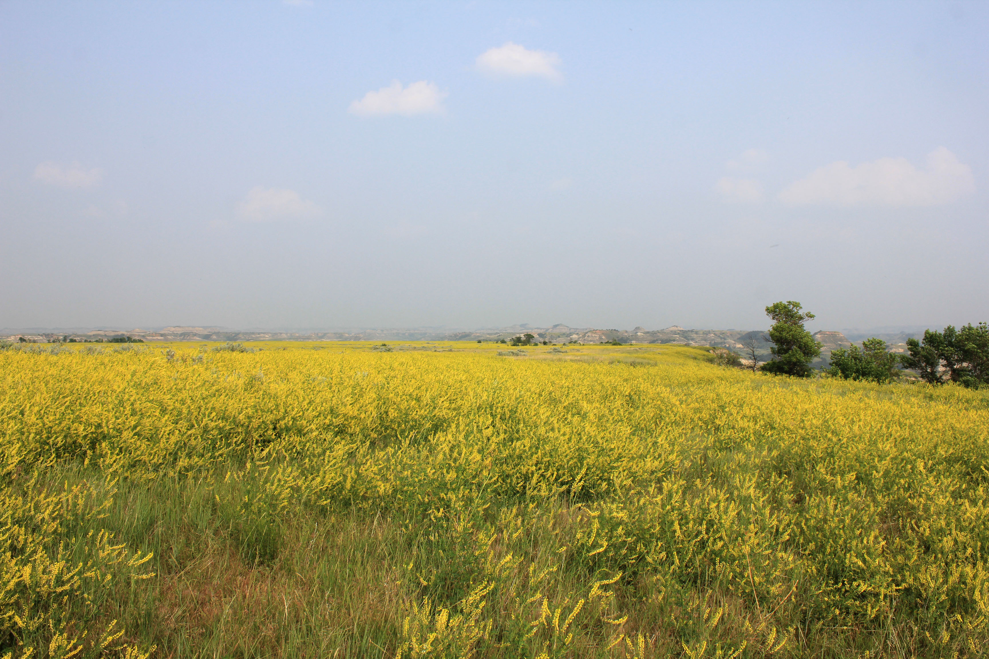 Yellow Flowers On The Open Prairie At Theodore Roosevelt National