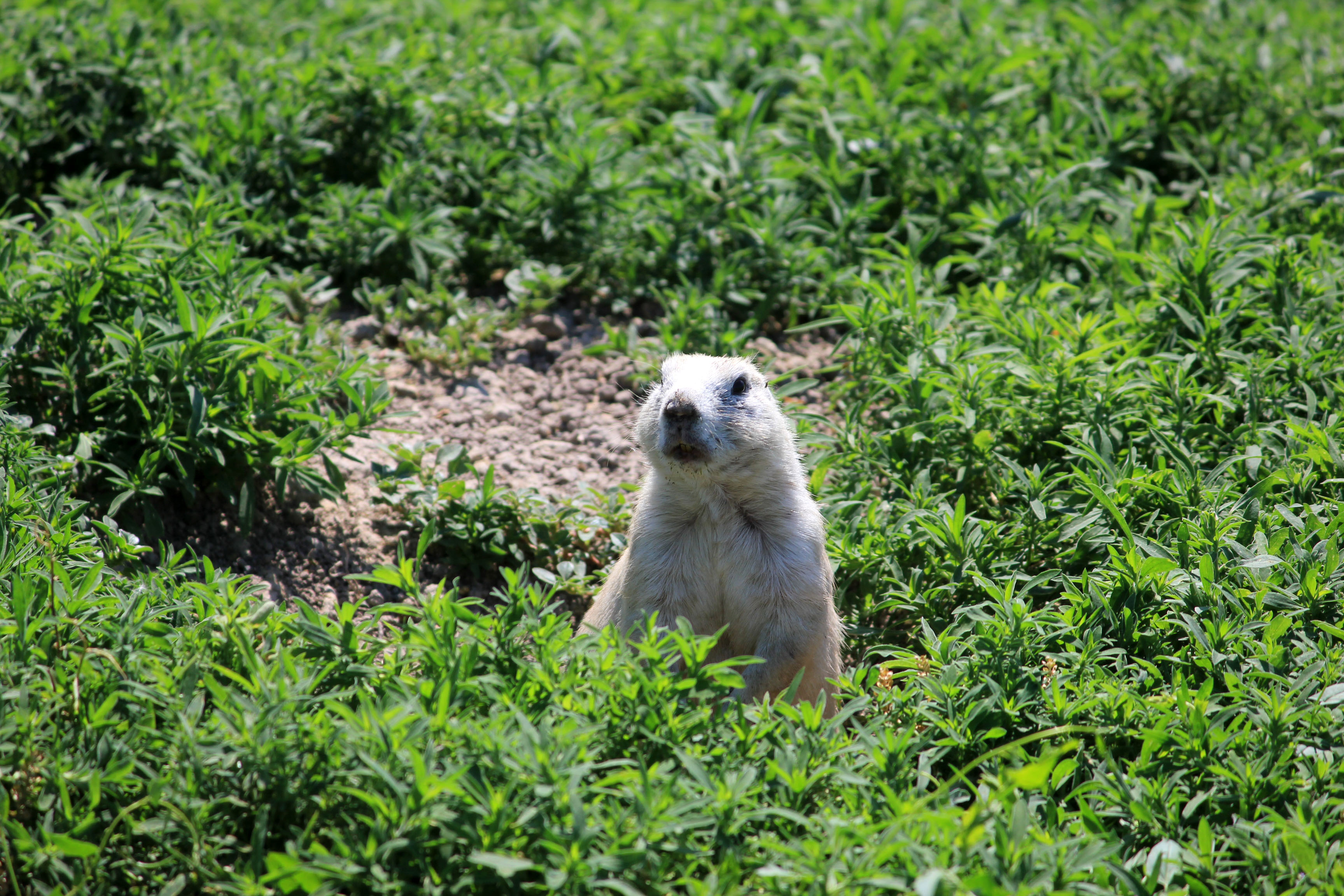 Prairie Dog coming out of its hole