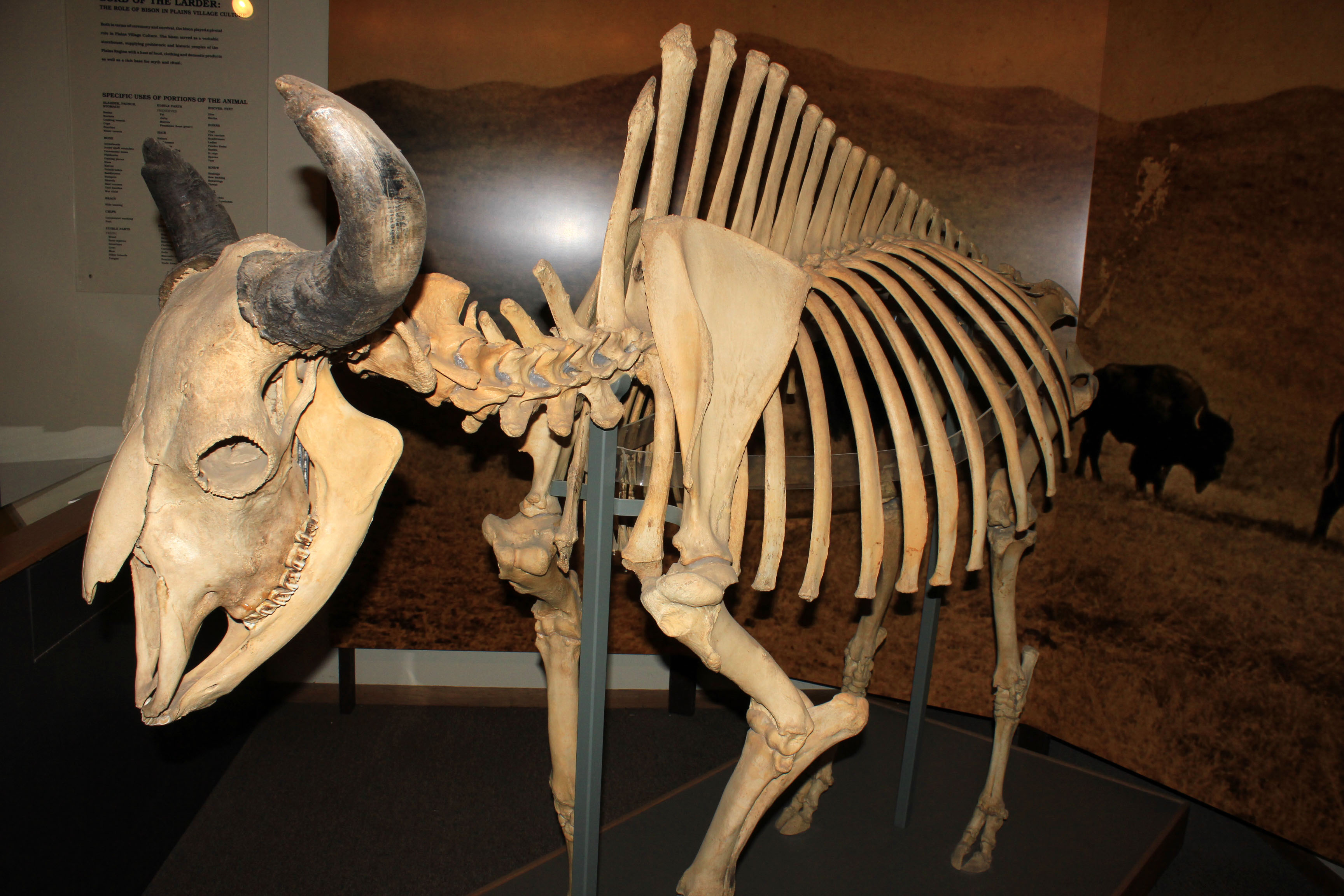 Bison Skeleton In Mitchell  South Dakota Image