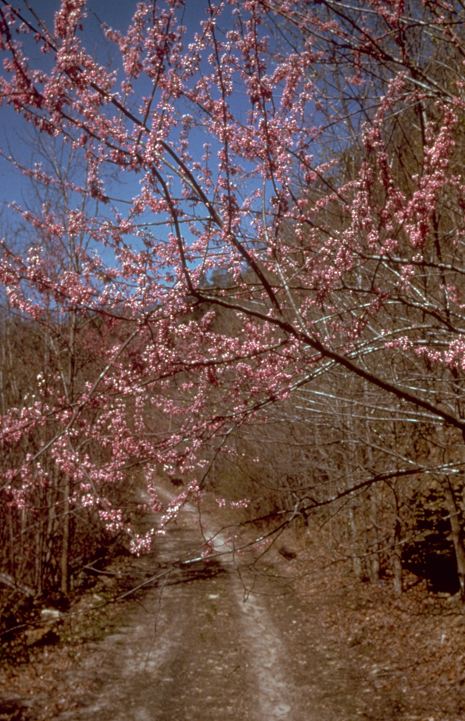 pink flowers in spring at big south fork  tennessee image - free stock photo