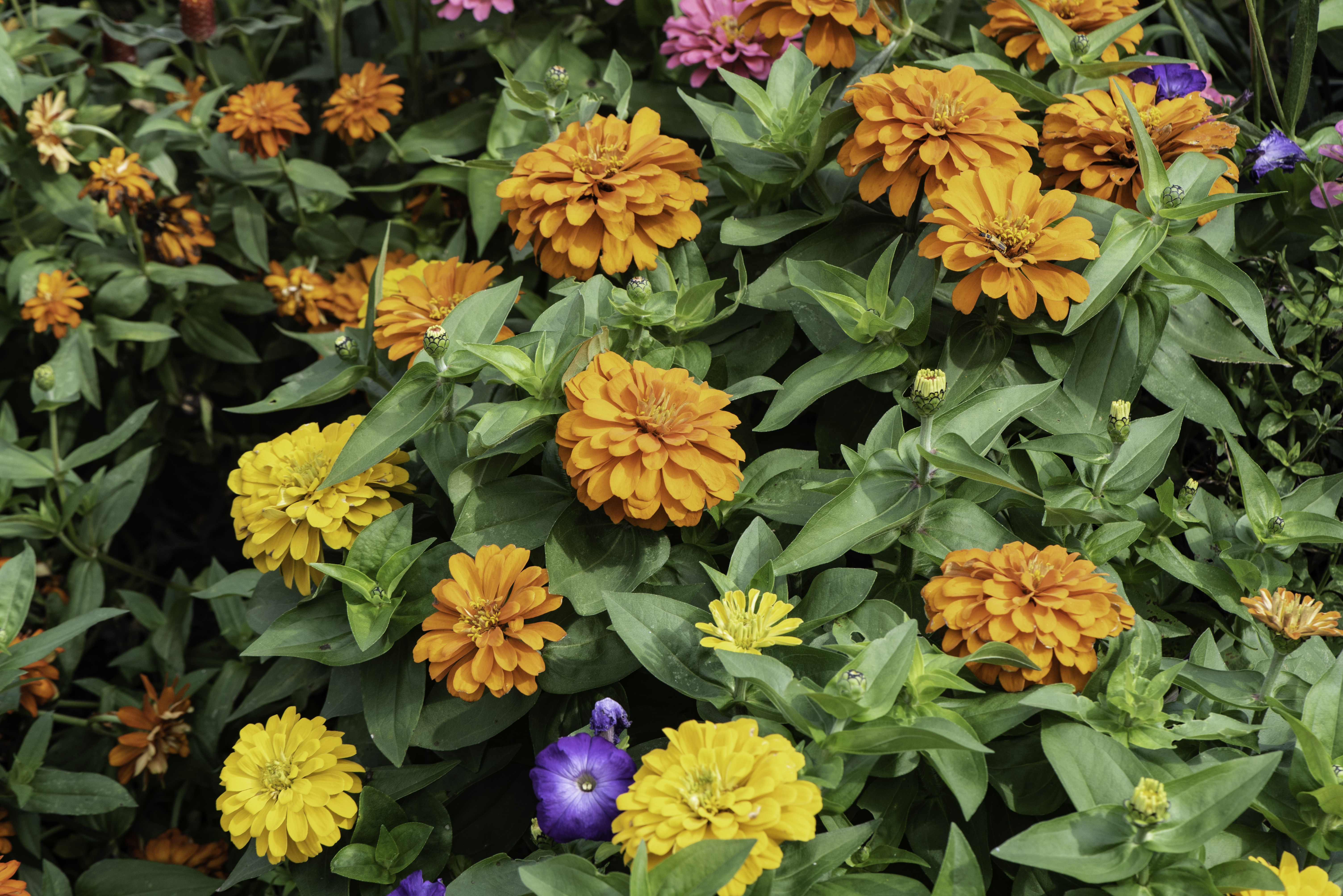 Yellow And Orange Flowers In The Garden Image Free Stock Photo
